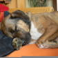 max ( Bordeaux-Dogge Mischling )