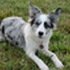 Smarty - Border Collie