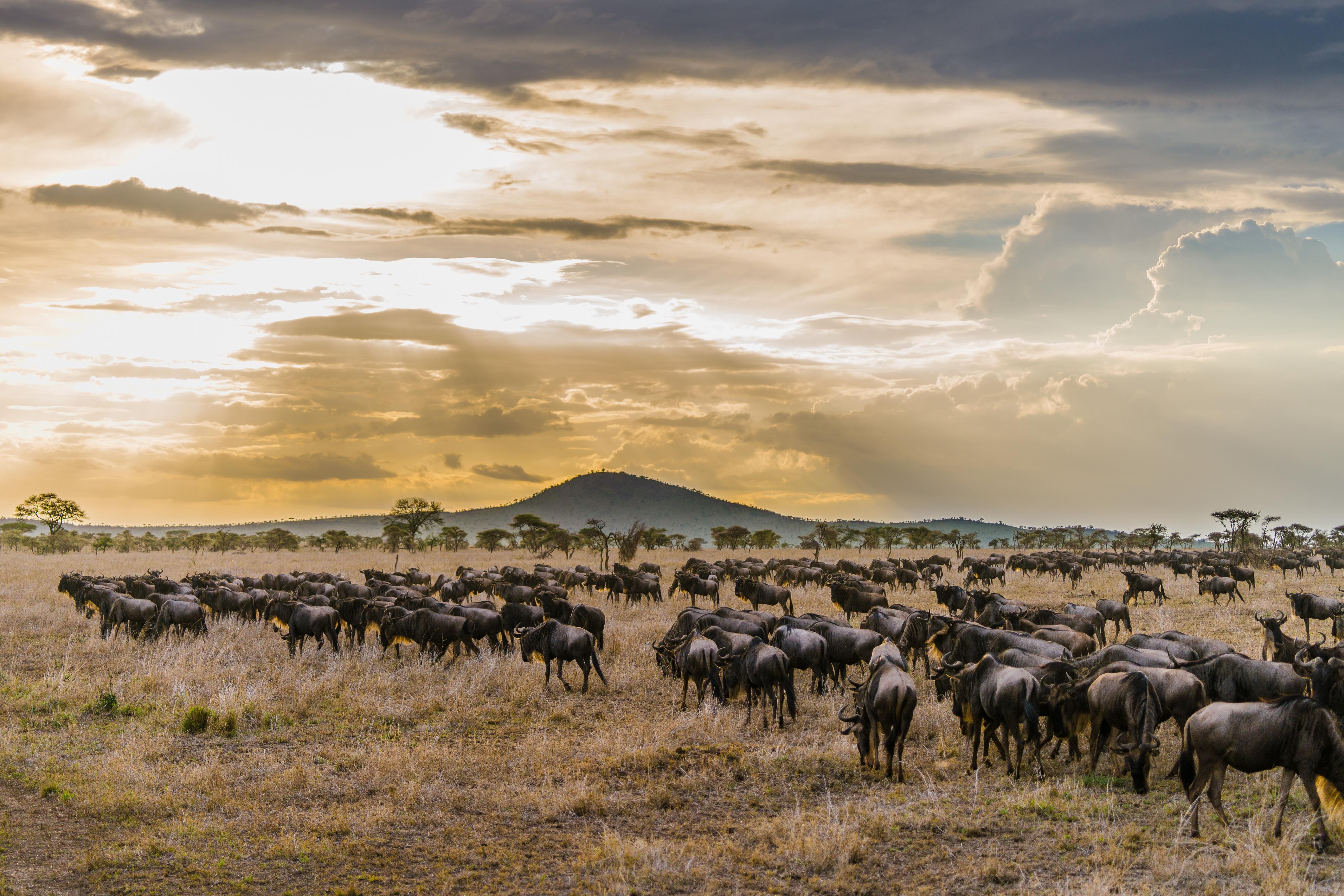 Serengeti-wildebeest-migration.jpg#asset:114313