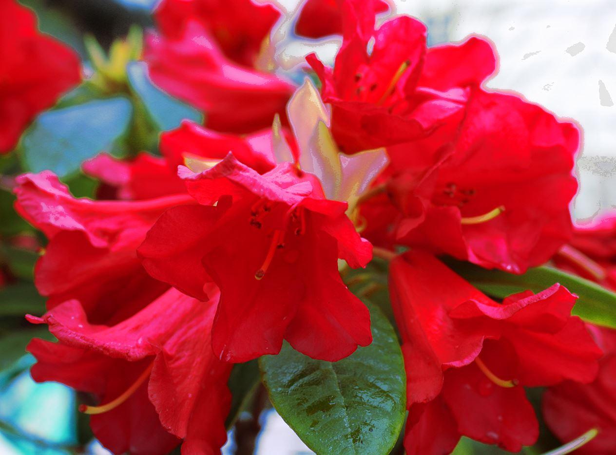 3 Pack (9cm Pots) Dwarf Rhododendron Bengal Dark Red Flowers Garden Shrub Plant - growon shrubs - ebay.co.uk
