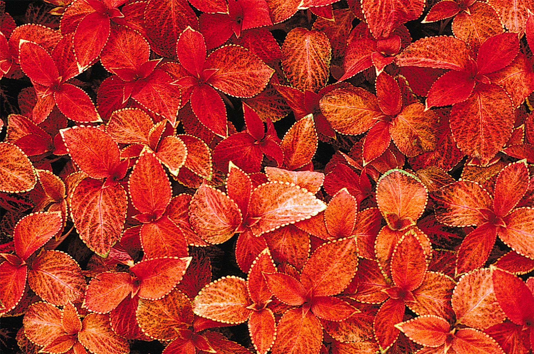 Flower Flame Dancers 100 Seeds Mr Fothergills Pictorial Packet Coleus