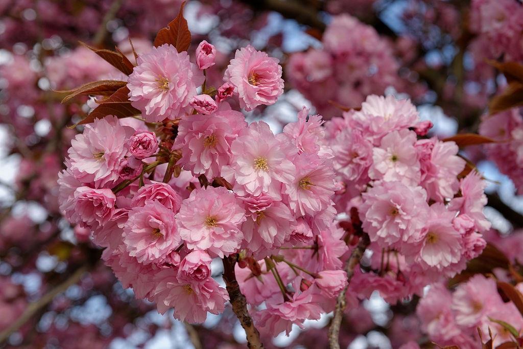 Prunus Sunburst Cherry Fruit Tree 6-7ft Supplied in a 7.5 Litre Pot