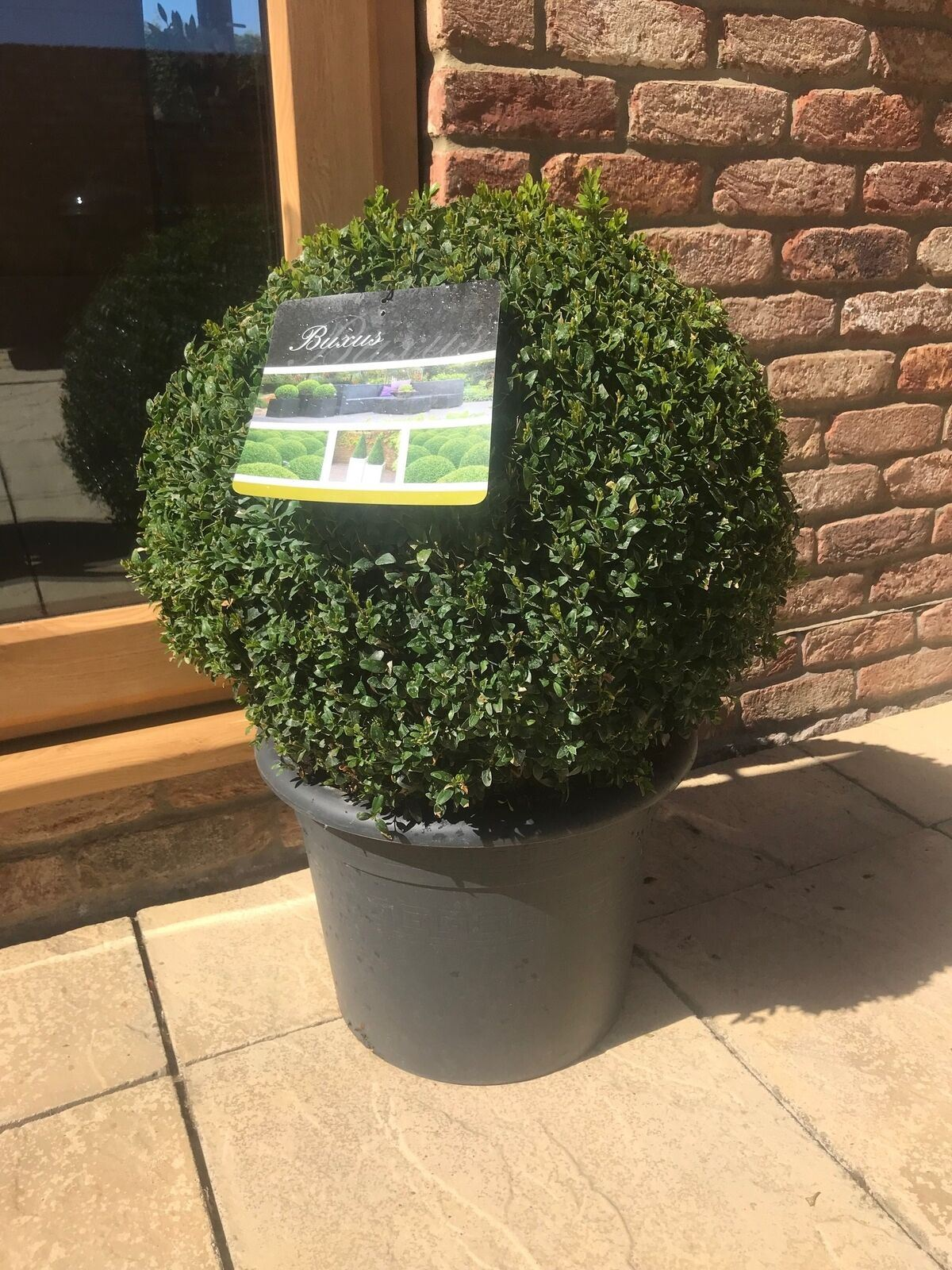2X LARGE BUXUS BOX BALL PLANTS ROUND TOPIARY BALLS 30-35cm