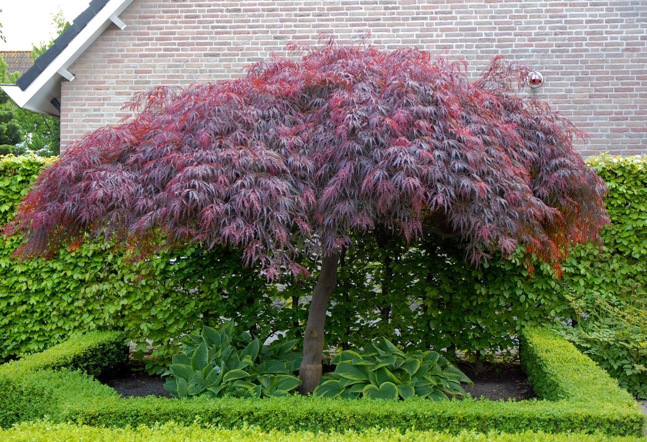 1x Large Acer Palmatum Dissectum Garnet Plant Rare Japanese Maple