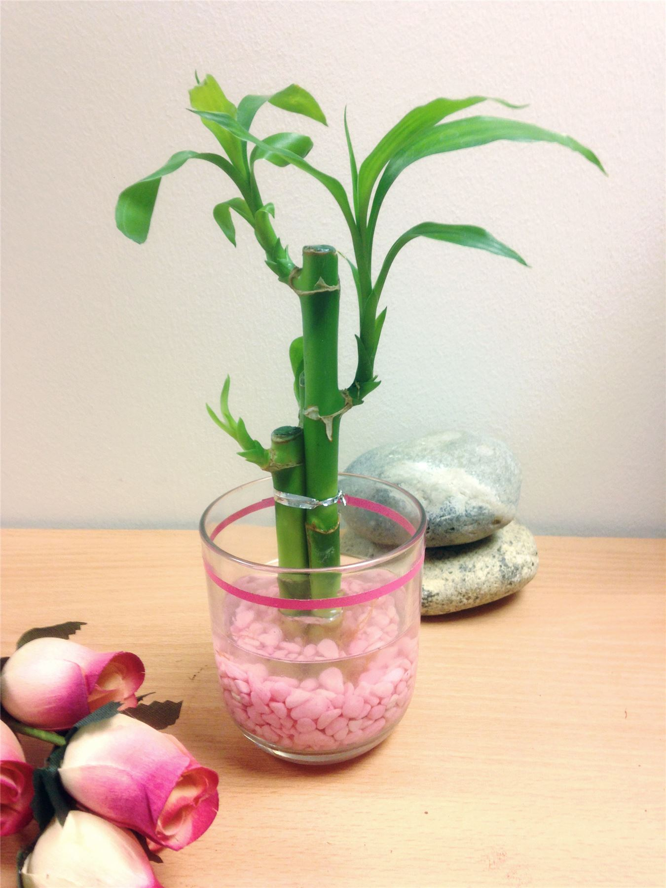 1 lucky bamboo ribbon plant 3 stalks in colour vase house office 1 lucky bamboo ribbon plant 3 stalks in reviewsmspy