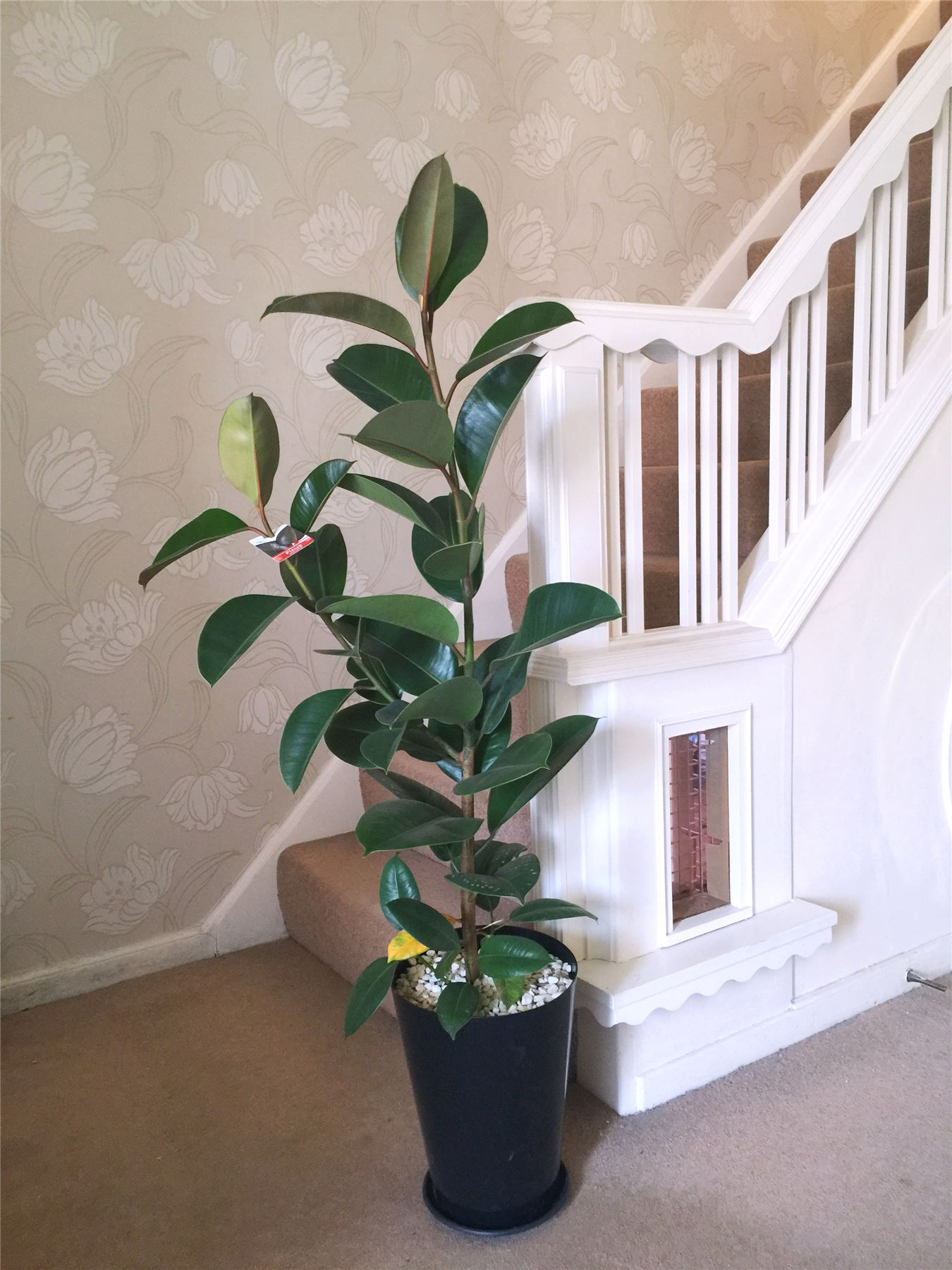 1 Large Evergreen Office House Plant Indoor Tree In Gloss