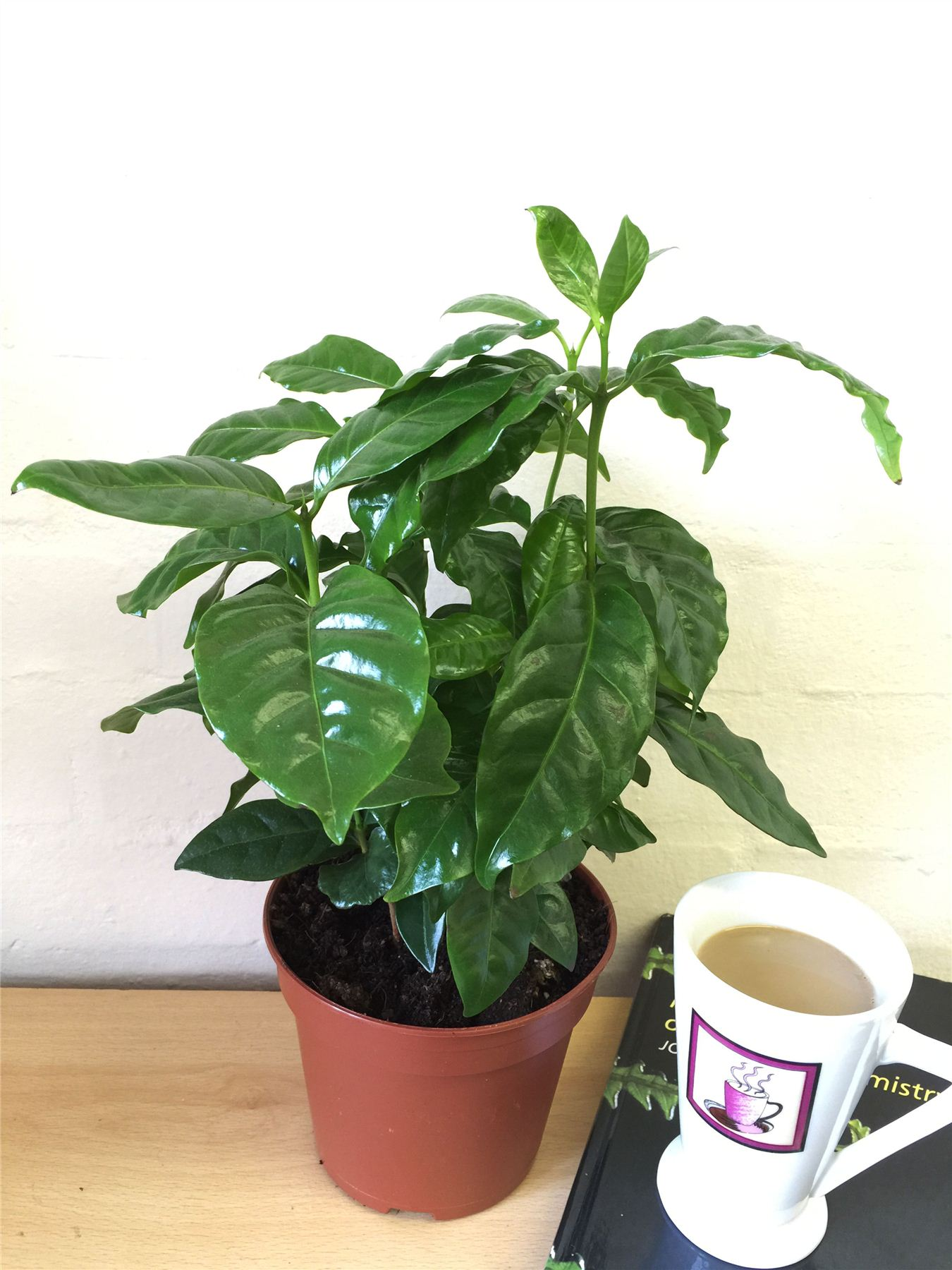 1 coffee plant in 12cm ceramic coffea mug indoor house garden cafe arabica tree ebay. Black Bedroom Furniture Sets. Home Design Ideas