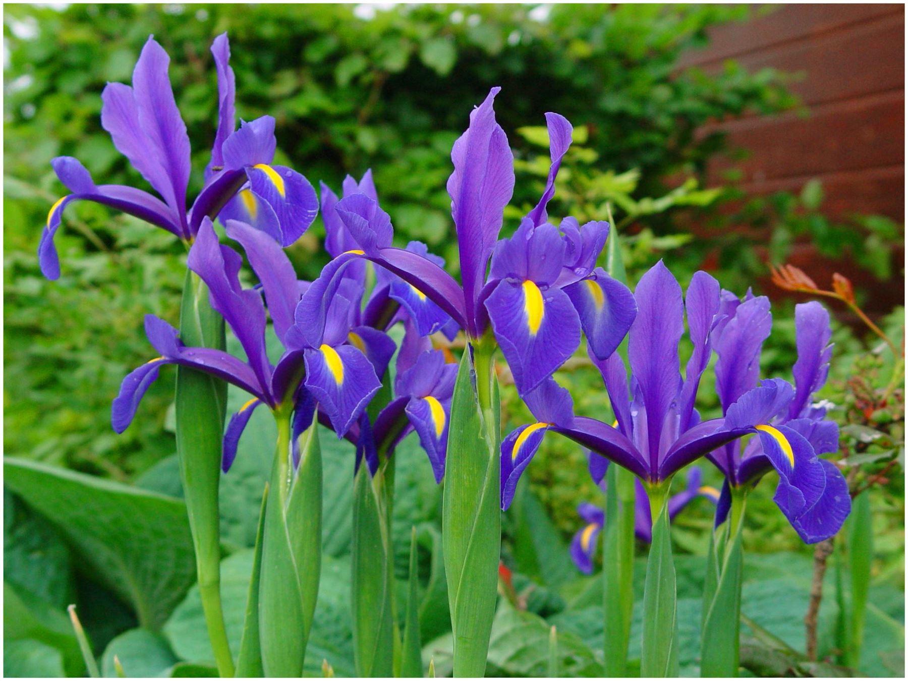 40 Bulbes Fleurs Vivaces Iris Bleu Neerlandais Printemps Ete Ebay