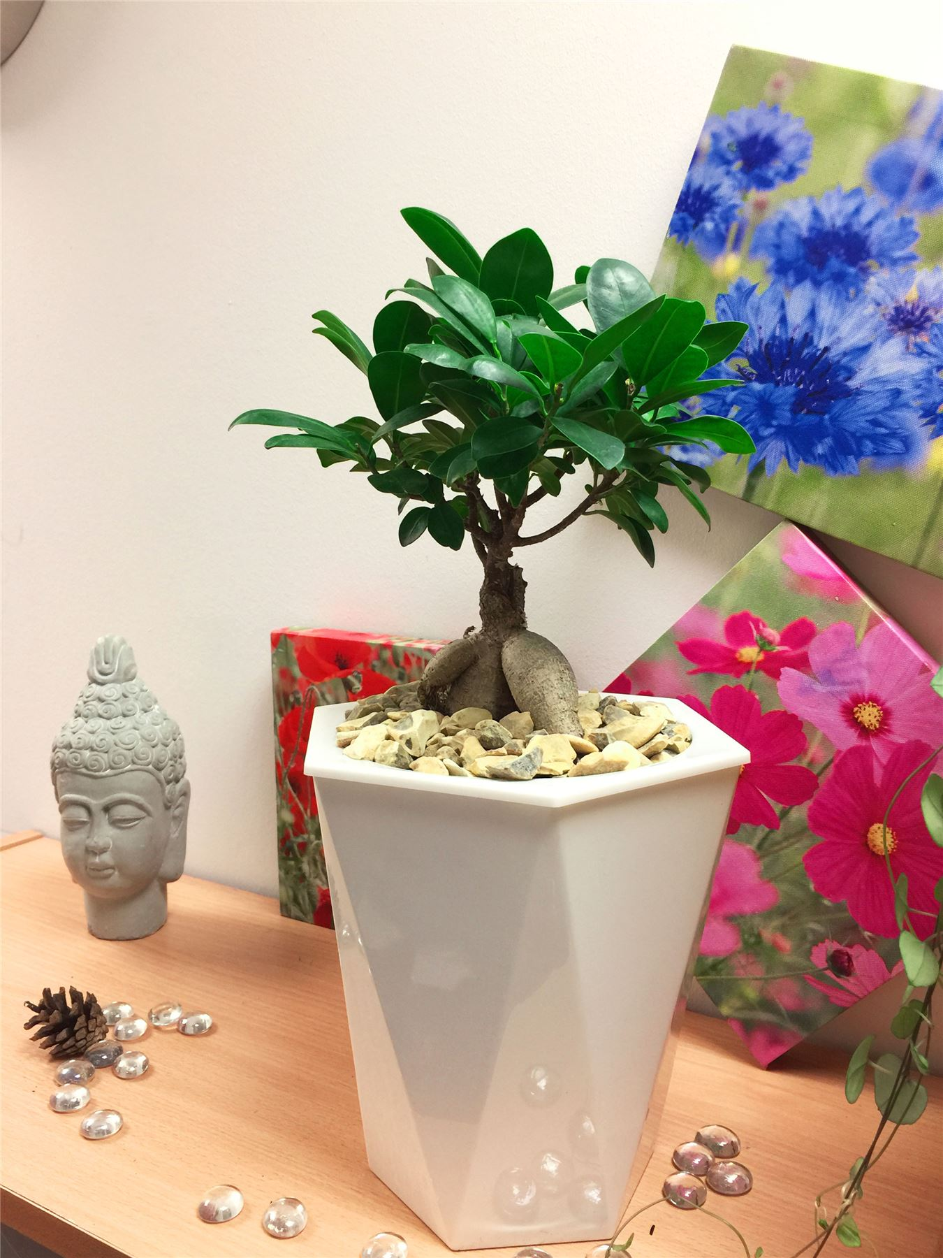 7fb22ae6456c Details about Ficus Ginseng House Plant Bonsai Tree White Rhombus Self  Watering Pot Gravel Top