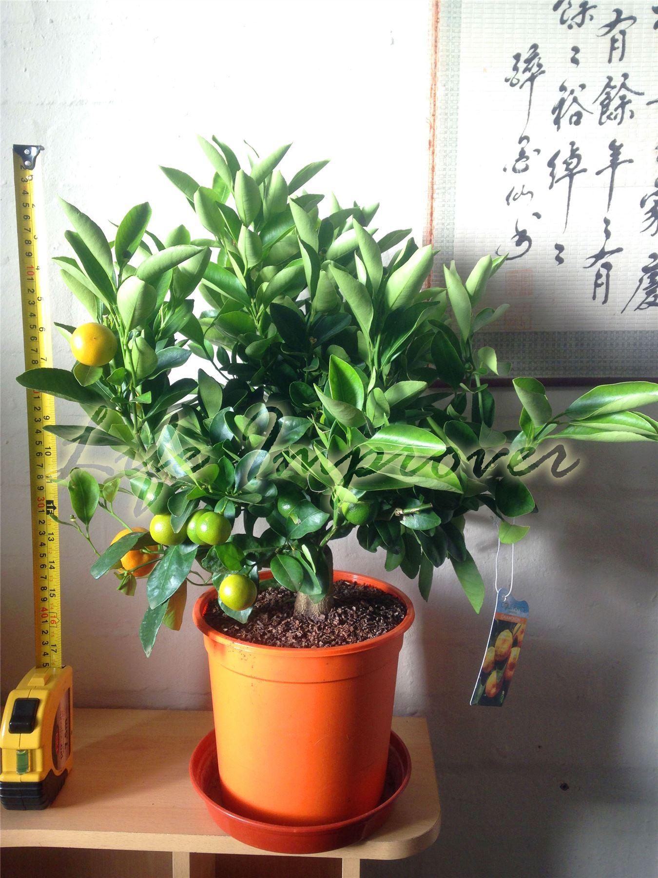 1 Dwarf Standing Calamondin Citrus Orange Fruit Tree