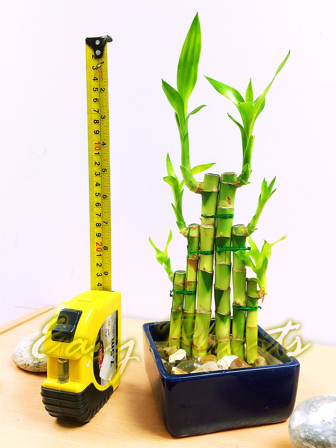 1 LUCKY BAMBOO RIBBON PLANT EVERGREEN INDOOR BONSAI IN CERAMIC POT ...