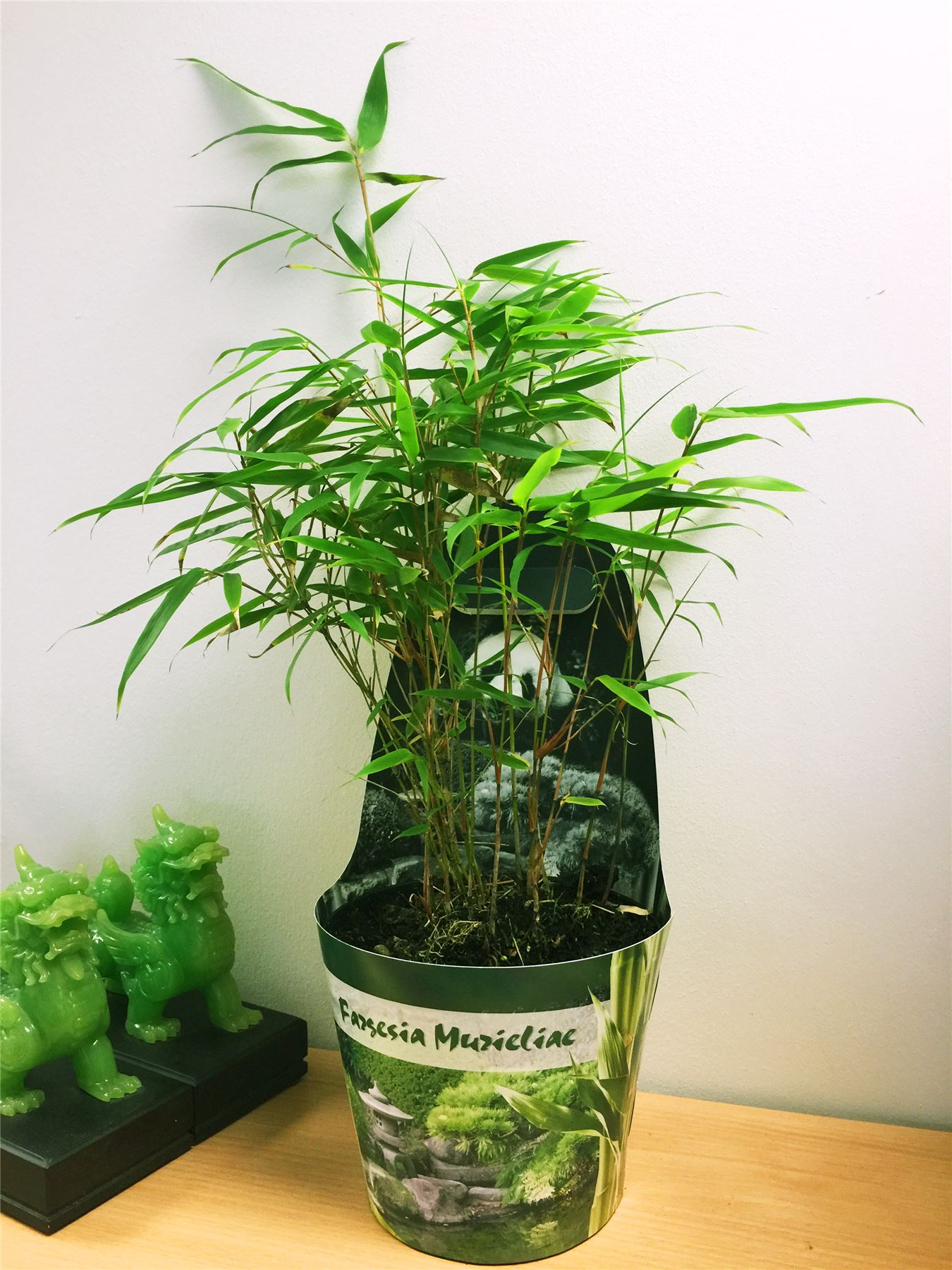 Bamboo House Plant ~ Bamboo hardy evergreen gardening house plant in pot