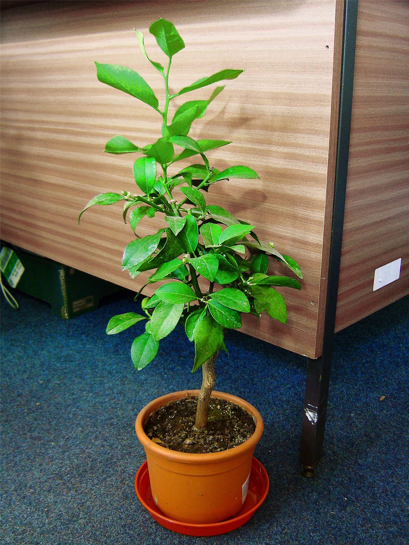 1 lemon indoor tree pot outdoor garden scent citrus fruit trellis house plant ebay - Best compost for flower pots solutions within reach ...