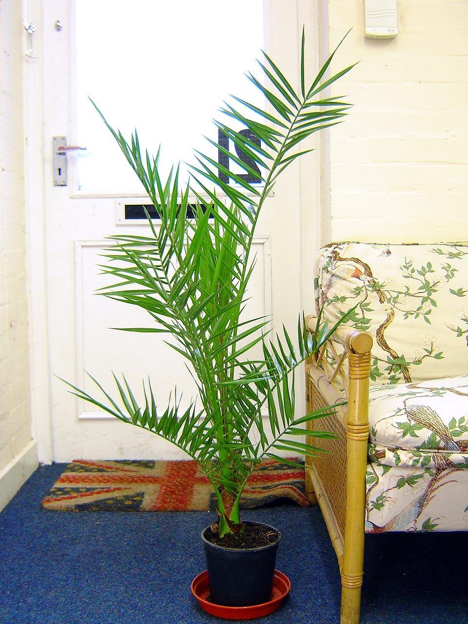 Phoenix roebelenii pigmeos palmeras maceta interior - Plantas ornamentales de exterior ...