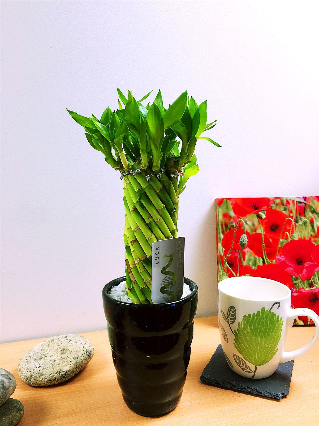 1 lucky bamboo ribbon plant evergreen indoor bonsai in ceramic pot 1 lucky bamboo ribbon plant evergreen indoor bonsai reviewsmspy