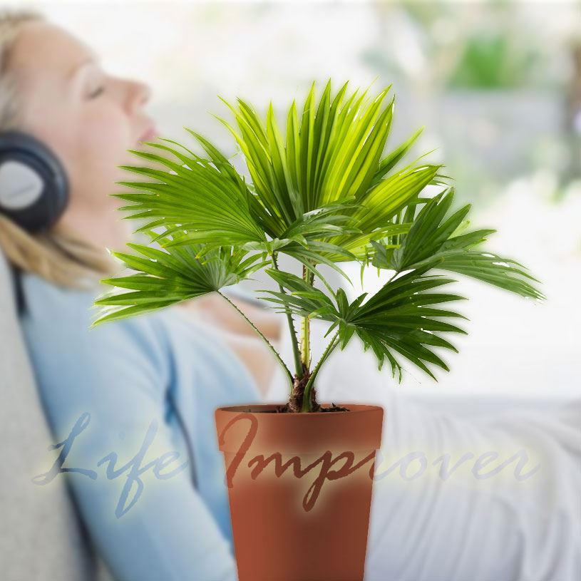 1 palmier en pot int rieur plante jardin tropical repose pieds ventilateur palm windmill palm ebay. Black Bedroom Furniture Sets. Home Design Ideas