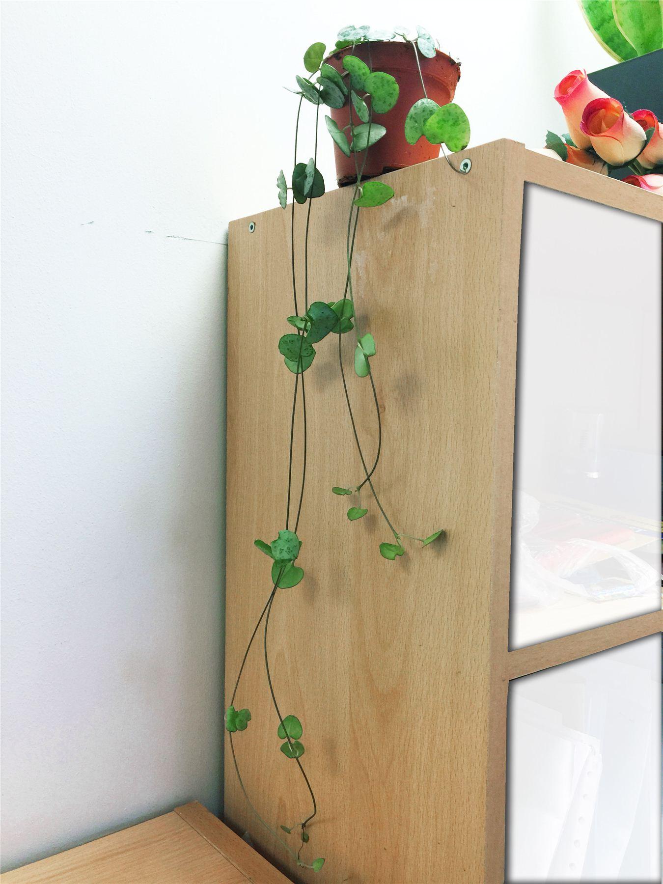 cha ne de coeurs succulente cactus plante d 39 int rieur en. Black Bedroom Furniture Sets. Home Design Ideas