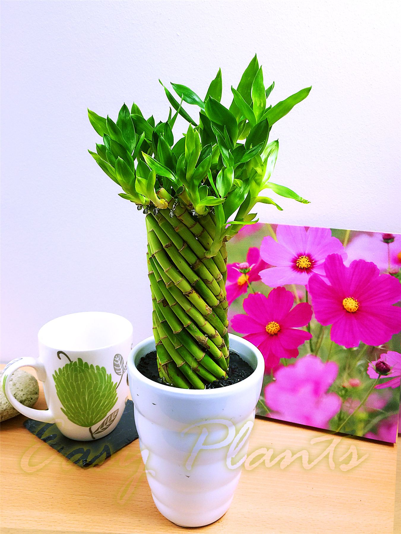 1 lucky bamboo ribbon plant evergreen indoor bonsai in ceramic pot for feng shui ebay. Black Bedroom Furniture Sets. Home Design Ideas
