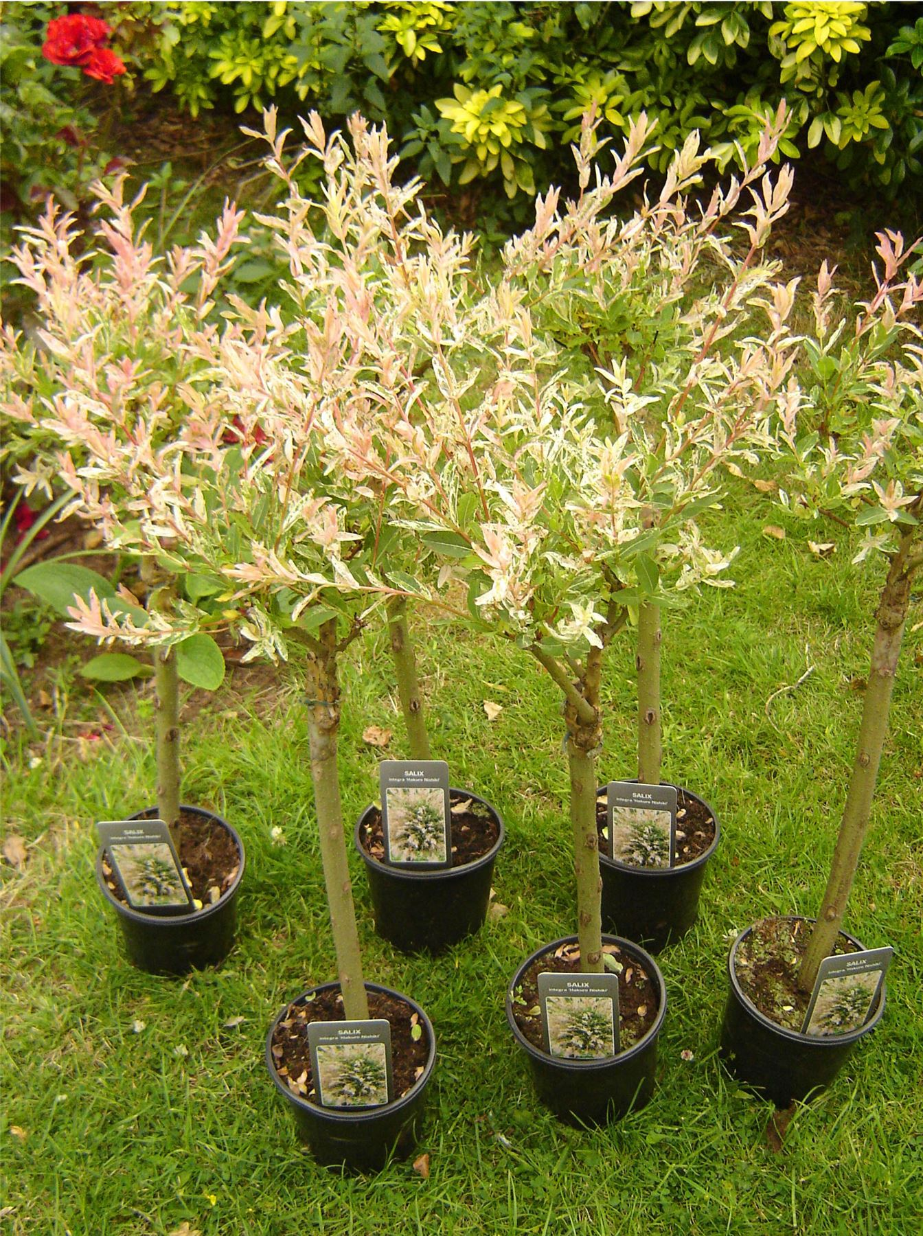 1 large standing flamingo plant salix integra japanese willow nishiki tree pot ebay. Black Bedroom Furniture Sets. Home Design Ideas
