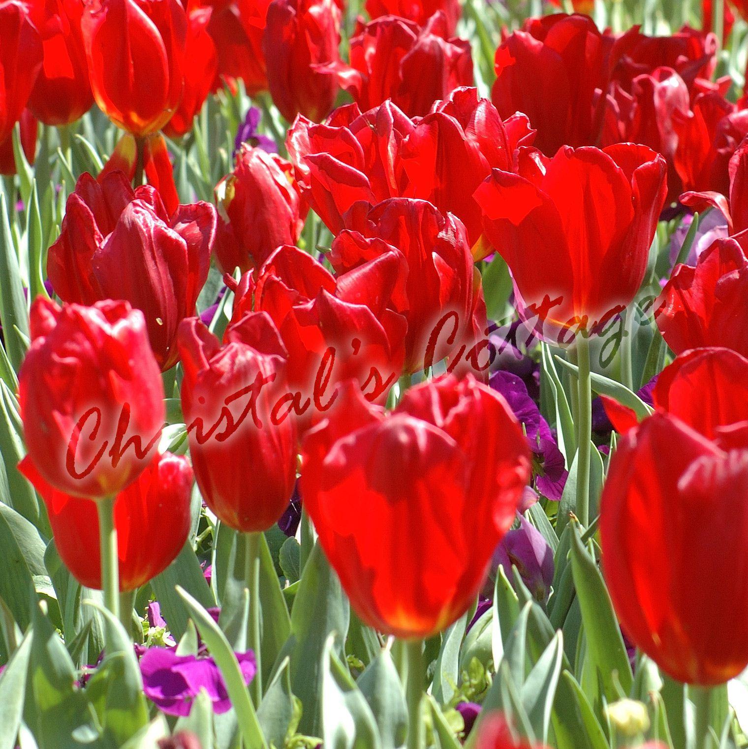 8 Tulipes Couleur Unie Automne Jardinage Fleur De Printemps Bulbe