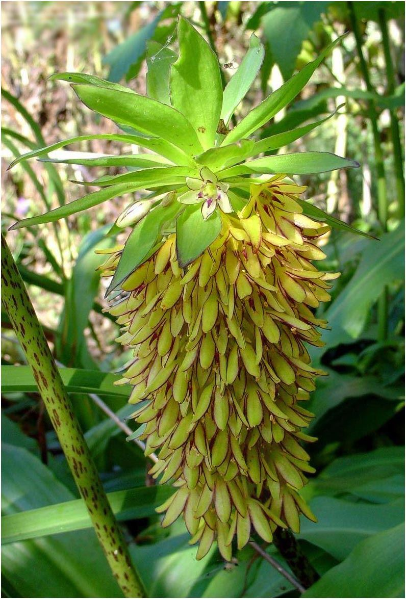 Fragrant pineapple lily spring gardening growing bulb corm tropical fragrant pineapple lily spring gardening growing bulb corm izmirmasajfo Images