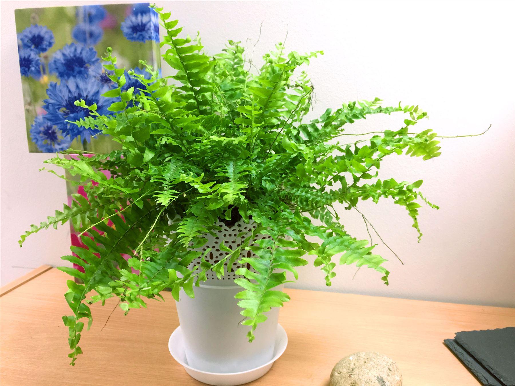 Big Pots Indoor Plants: 1 Live Boston Fern Large House Plant @ Pot Indoor Tropical