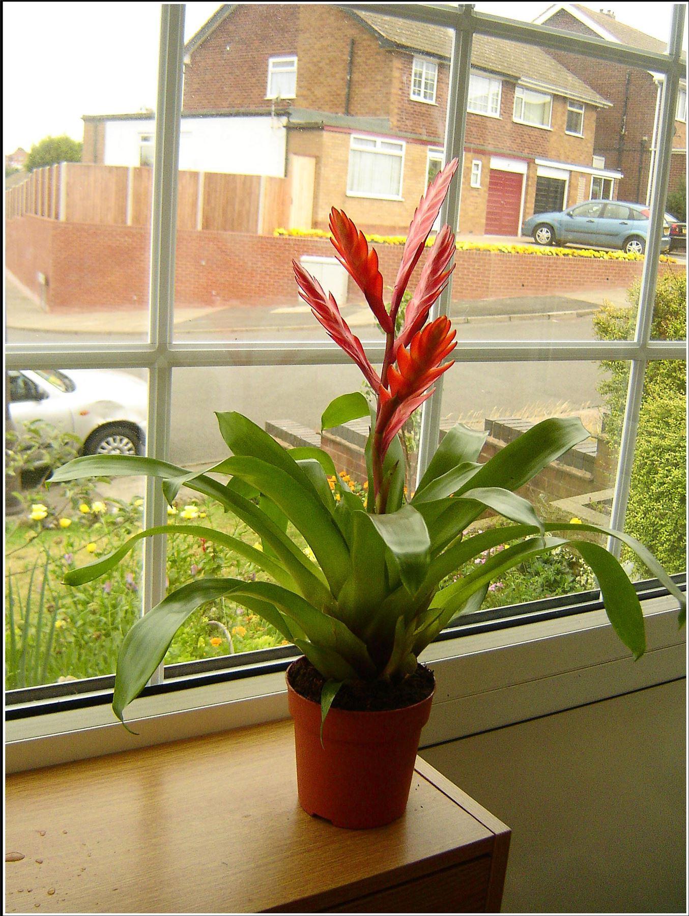 1 tropical vriesea splendens flaming sword evergreen. Black Bedroom Furniture Sets. Home Design Ideas