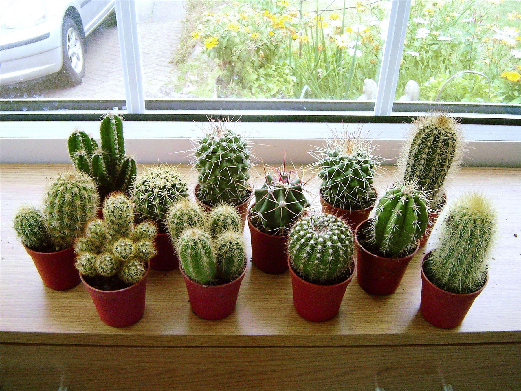 1 Mini Cactus Succulents Cacti In Pot Easy Care Evergreen