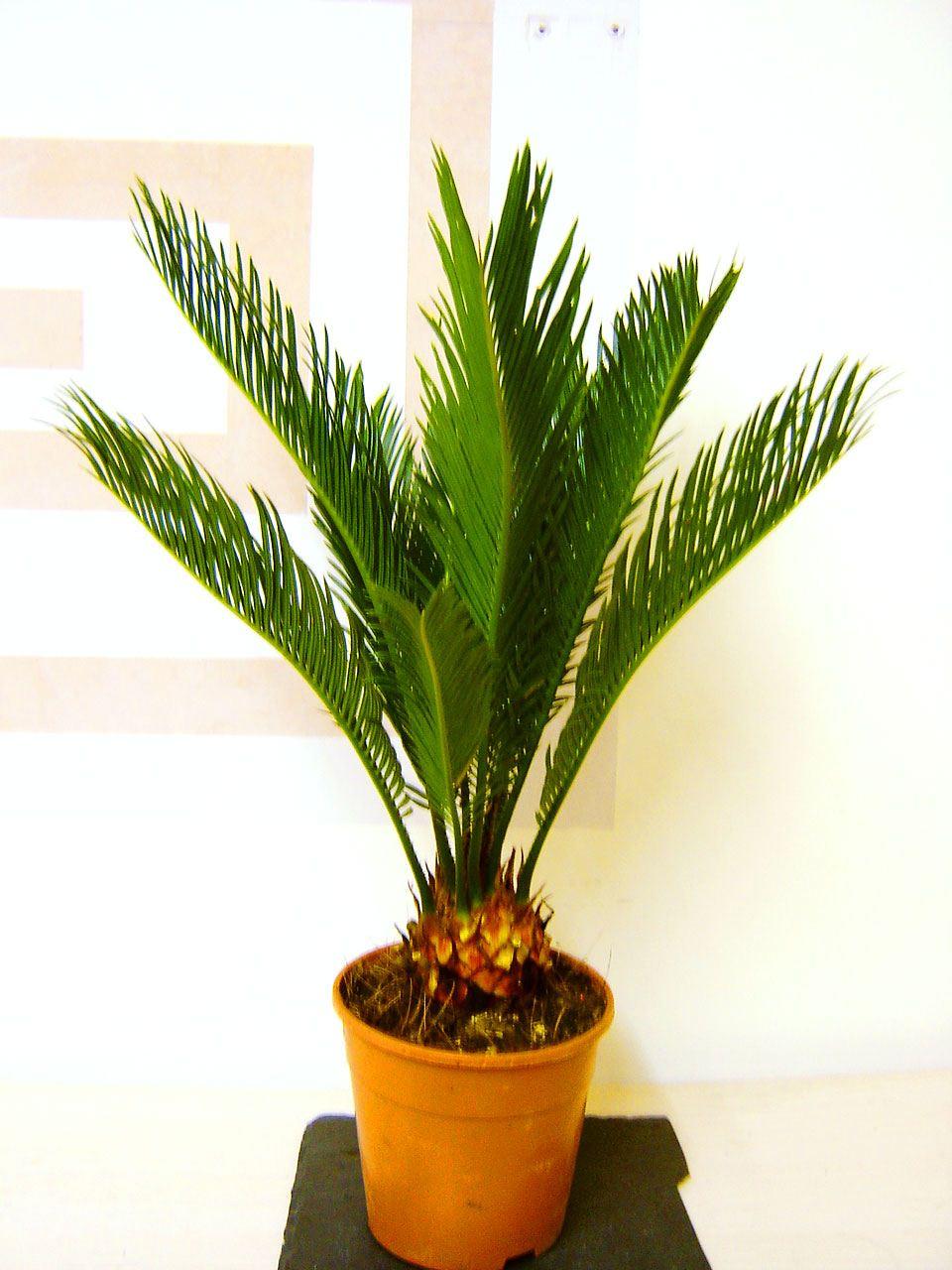1 Evergreen King Sago Palm Cycas Revoluta In Pot Indoor