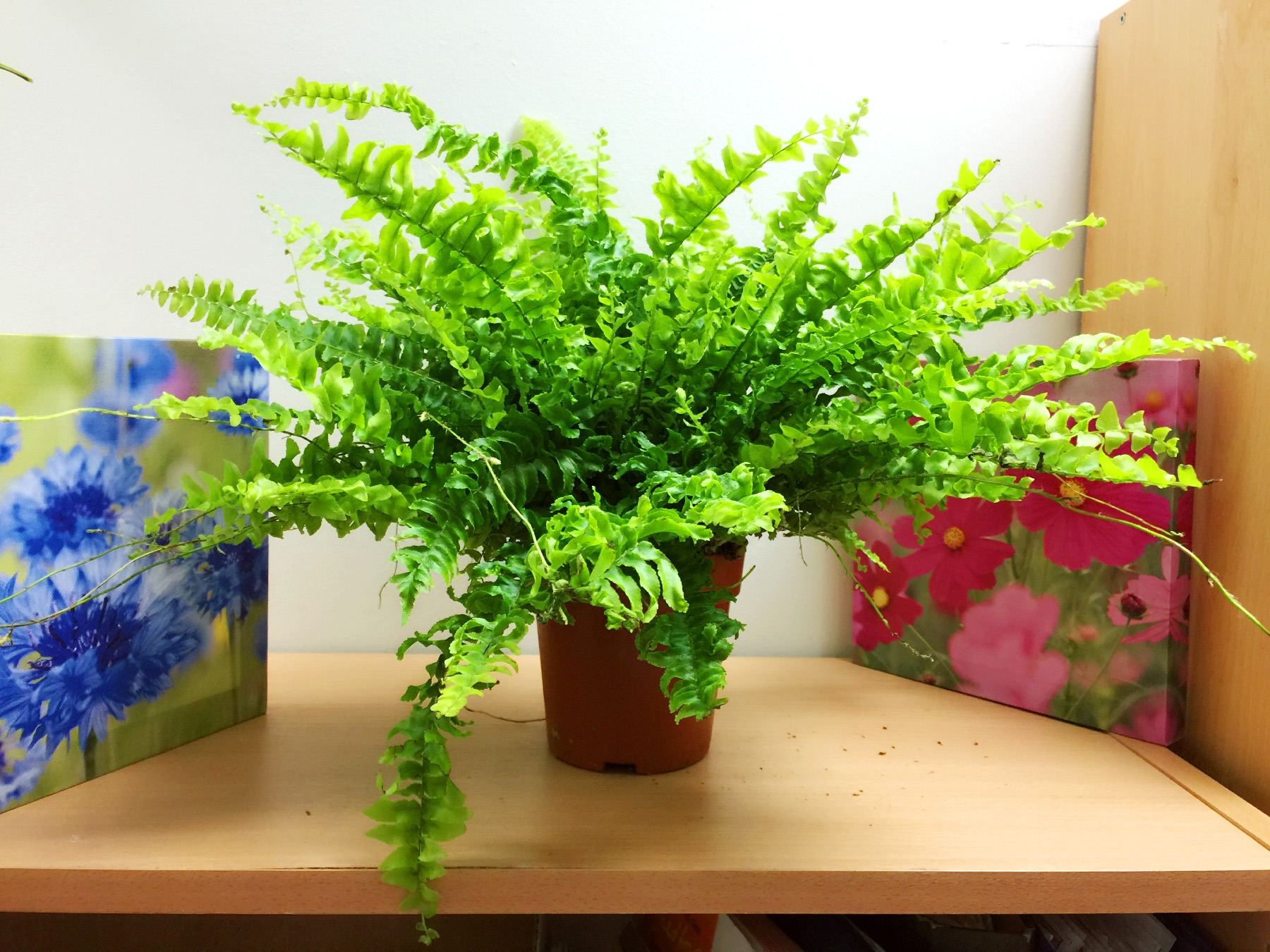 1 Live Boston Fern Large House Plant @ Pot Indoor Tropical