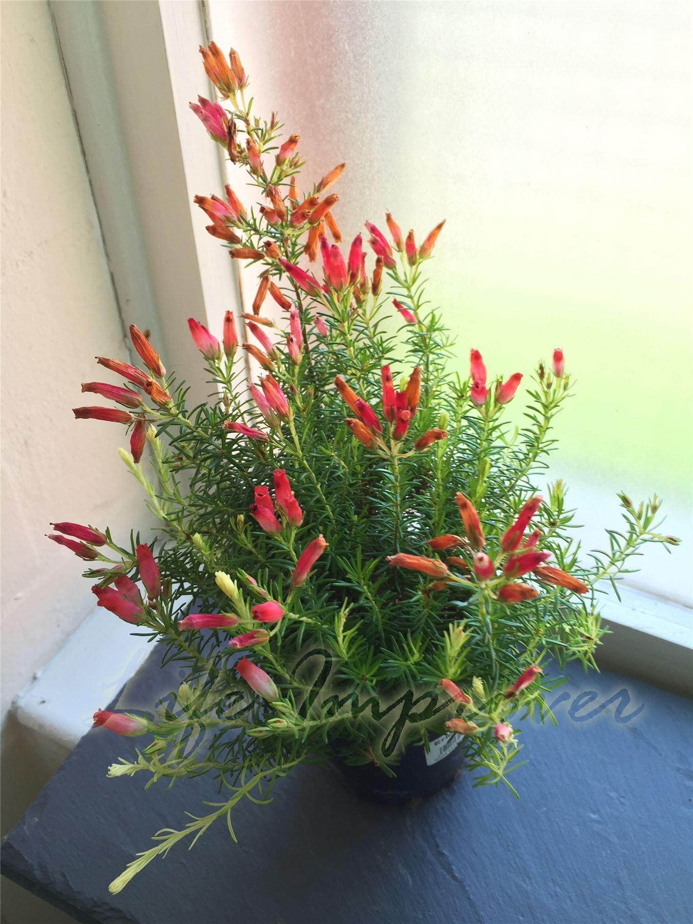Heath erica oatesii hiver feu hardy evergreen arbuste for Plante pot exterieur hiver
