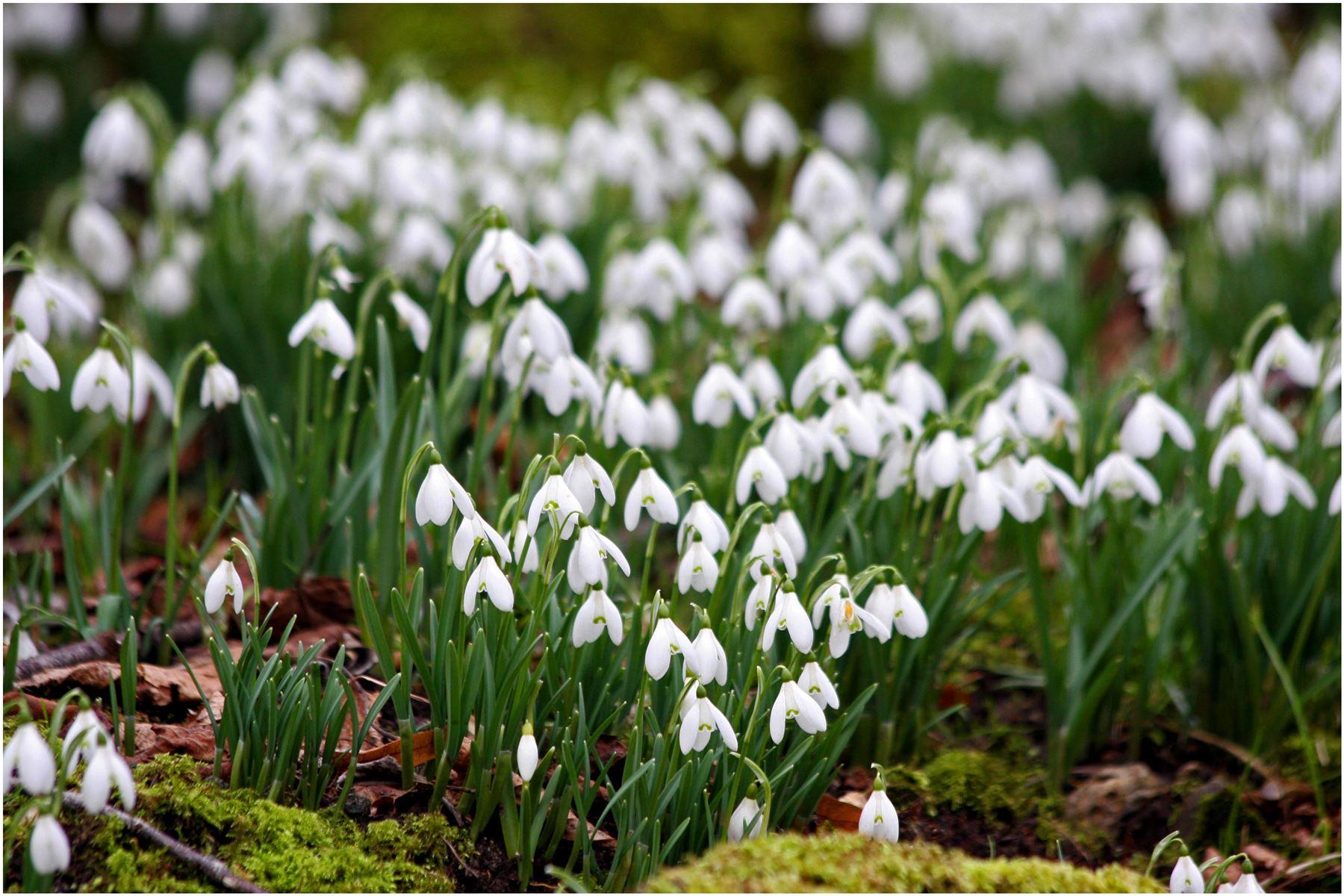 10 15 Snowdrop Galanthus Autumn Bulb Corm Growing Gardening Spring