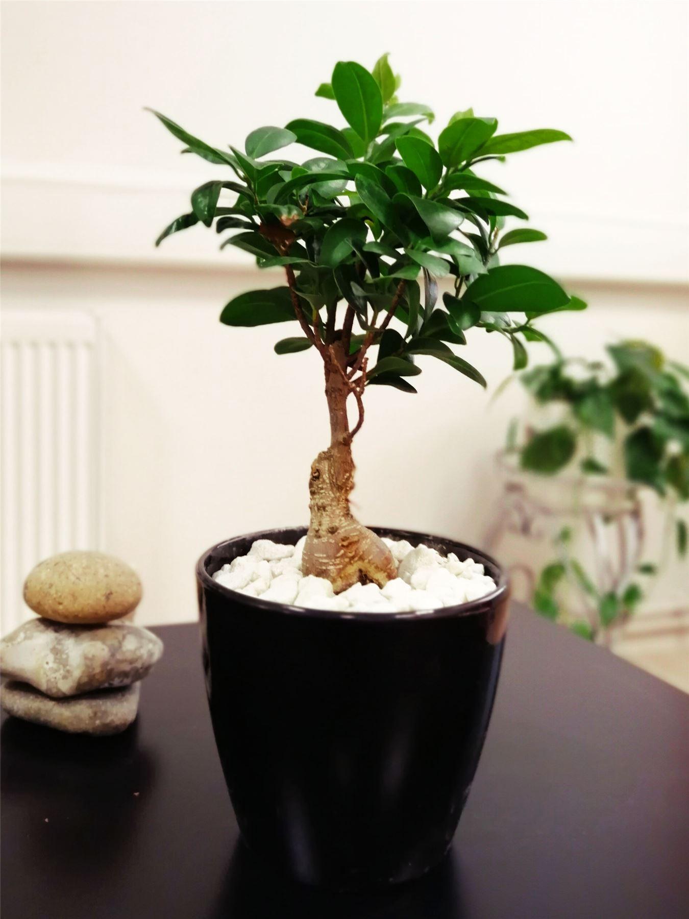 1 BONSAI FICUS GINSENG genseng INDOOR Albero in vaso rare specie vegetali di giardinaggio