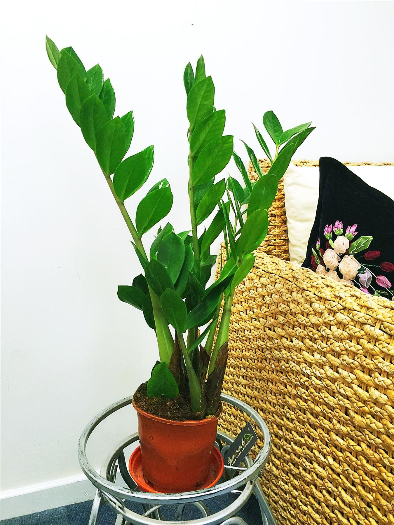 Easyplants traditionellen immergr n indoor pflanzen garten for Evergreen pflanzen