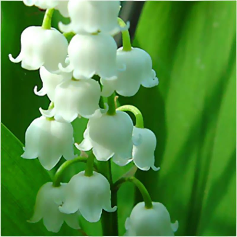 Convallaria-Lily-of-the-Valley-Spring-Garden-Perennial-Root-White-Flower-Plant