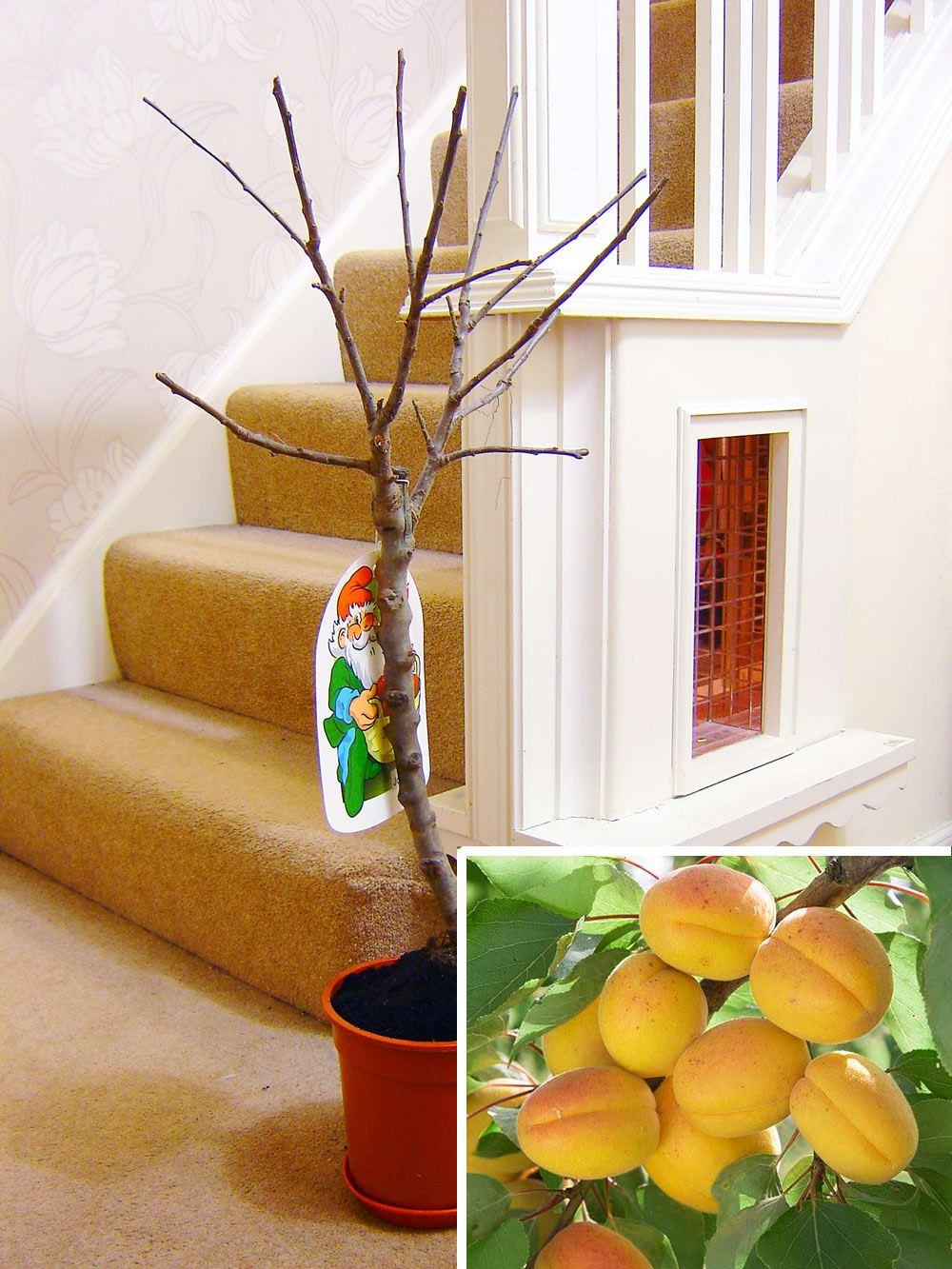 1 nano di alberi da frutto in vaso giardino pianta mela for Alberi da frutto in vaso