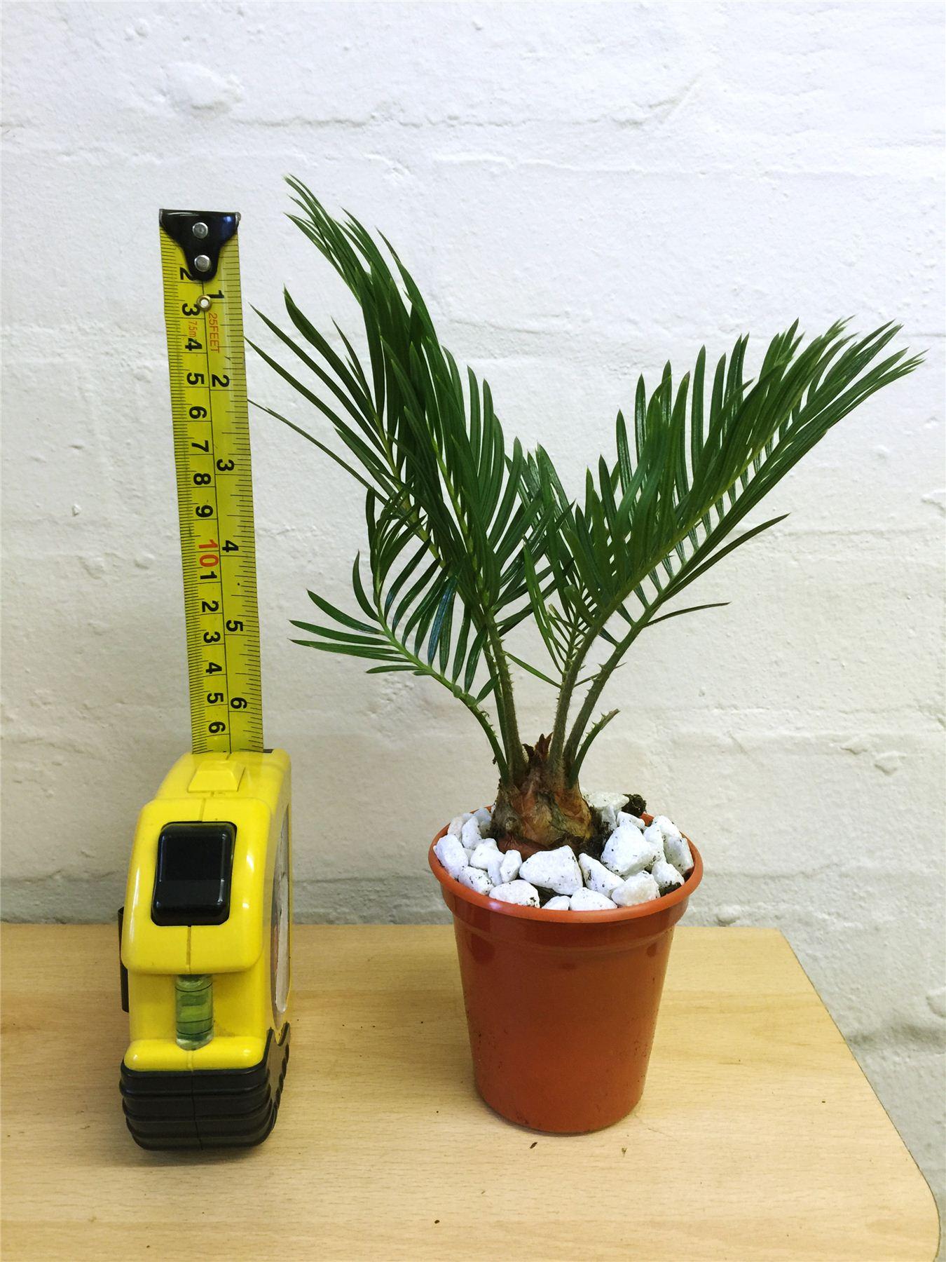 1 evergreen k nig sago palme cycas revoluta im topf indoor outdoor baum pflanze kraut ebay. Black Bedroom Furniture Sets. Home Design Ideas