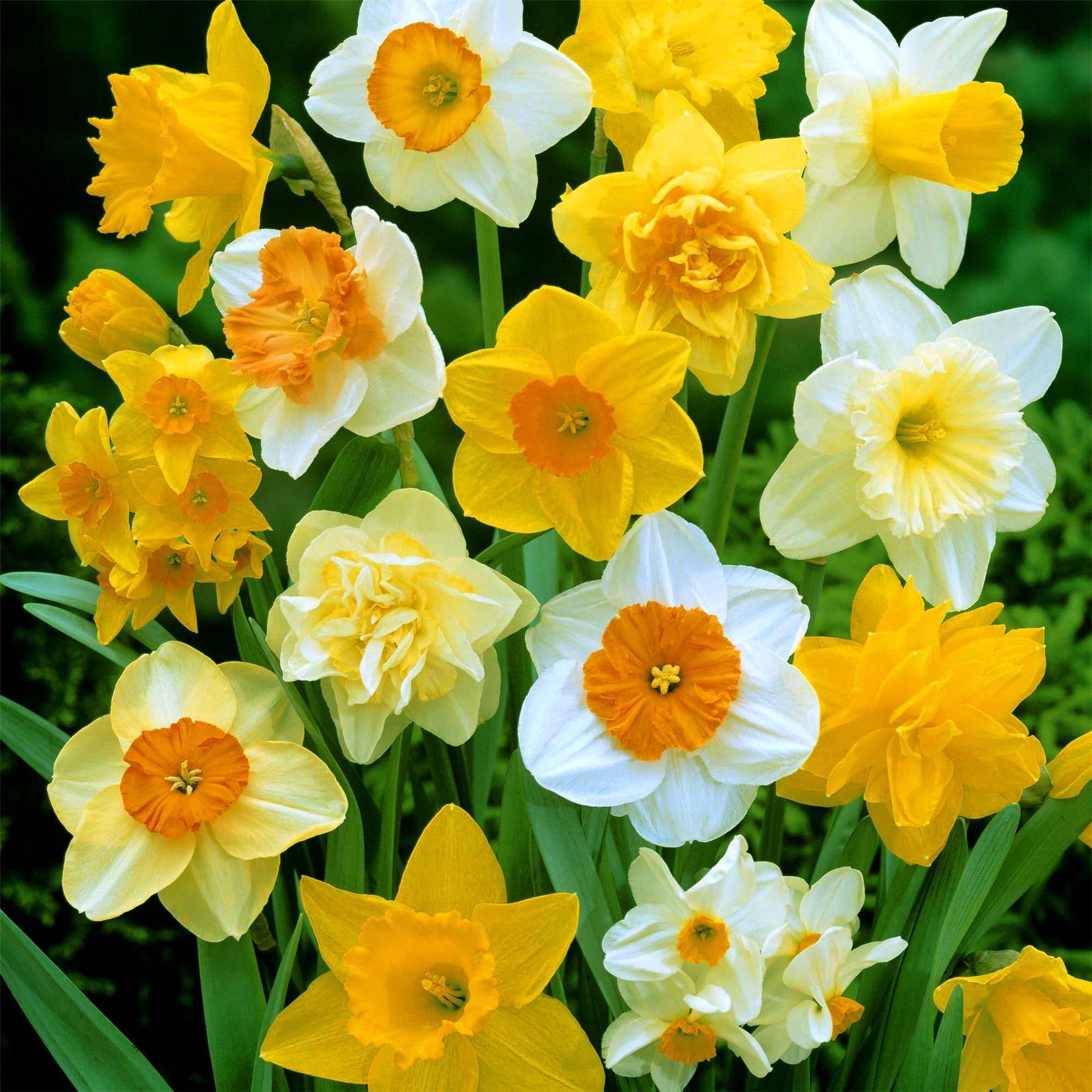 15 Dwarf Daffodil Narcissus Mix Garden Bulb Autumn Growing Spring