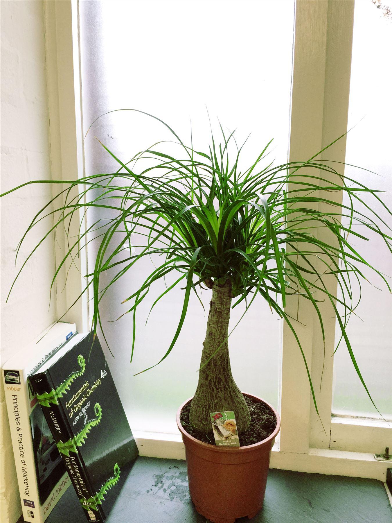 Pony Tail Elephants Foot Tree Palm Beaucarnea Recurvata