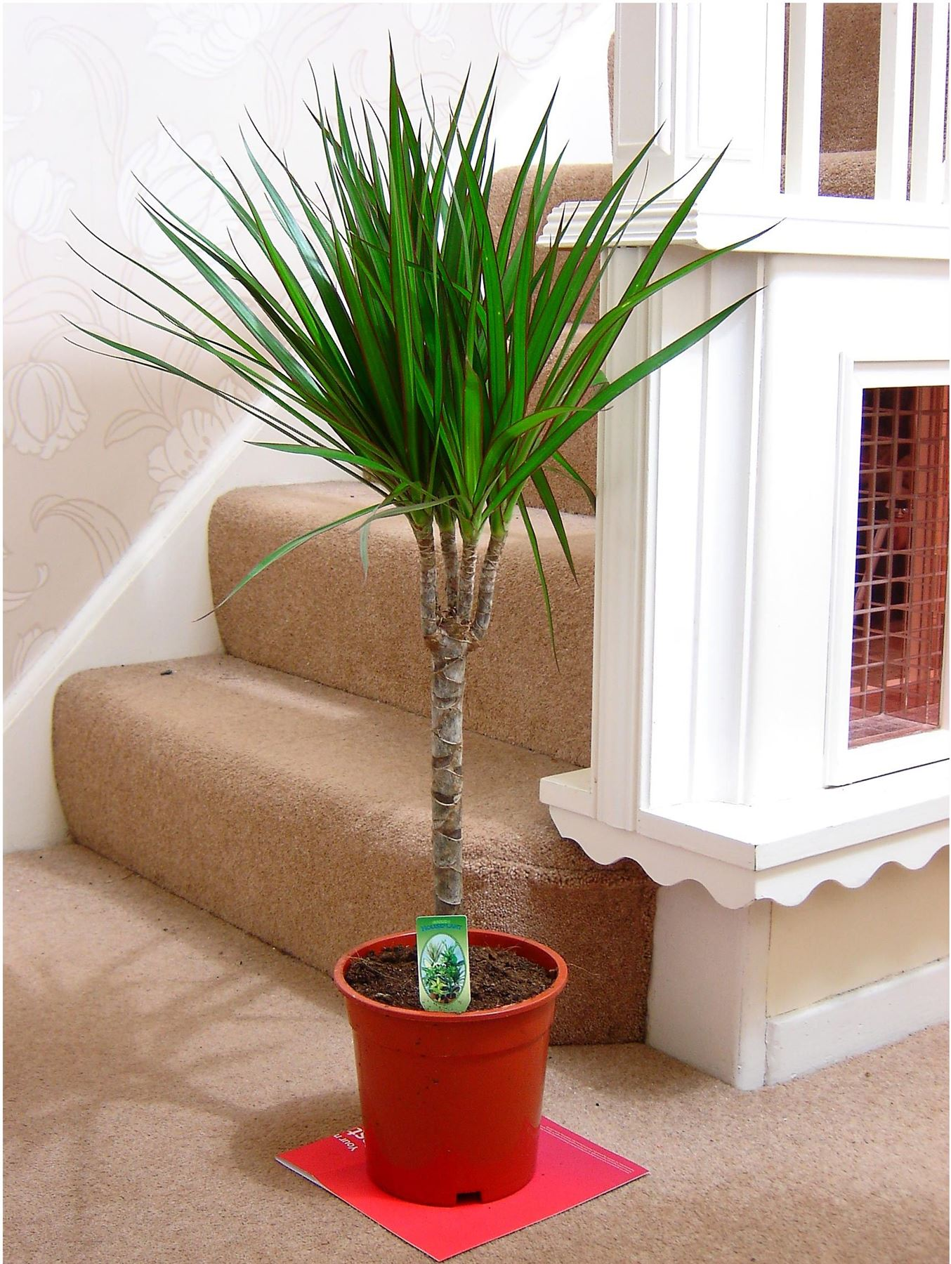 EasyPlants TRADITIONAL EVERGREEN INDOOR PLANT GARDEN TREE POT