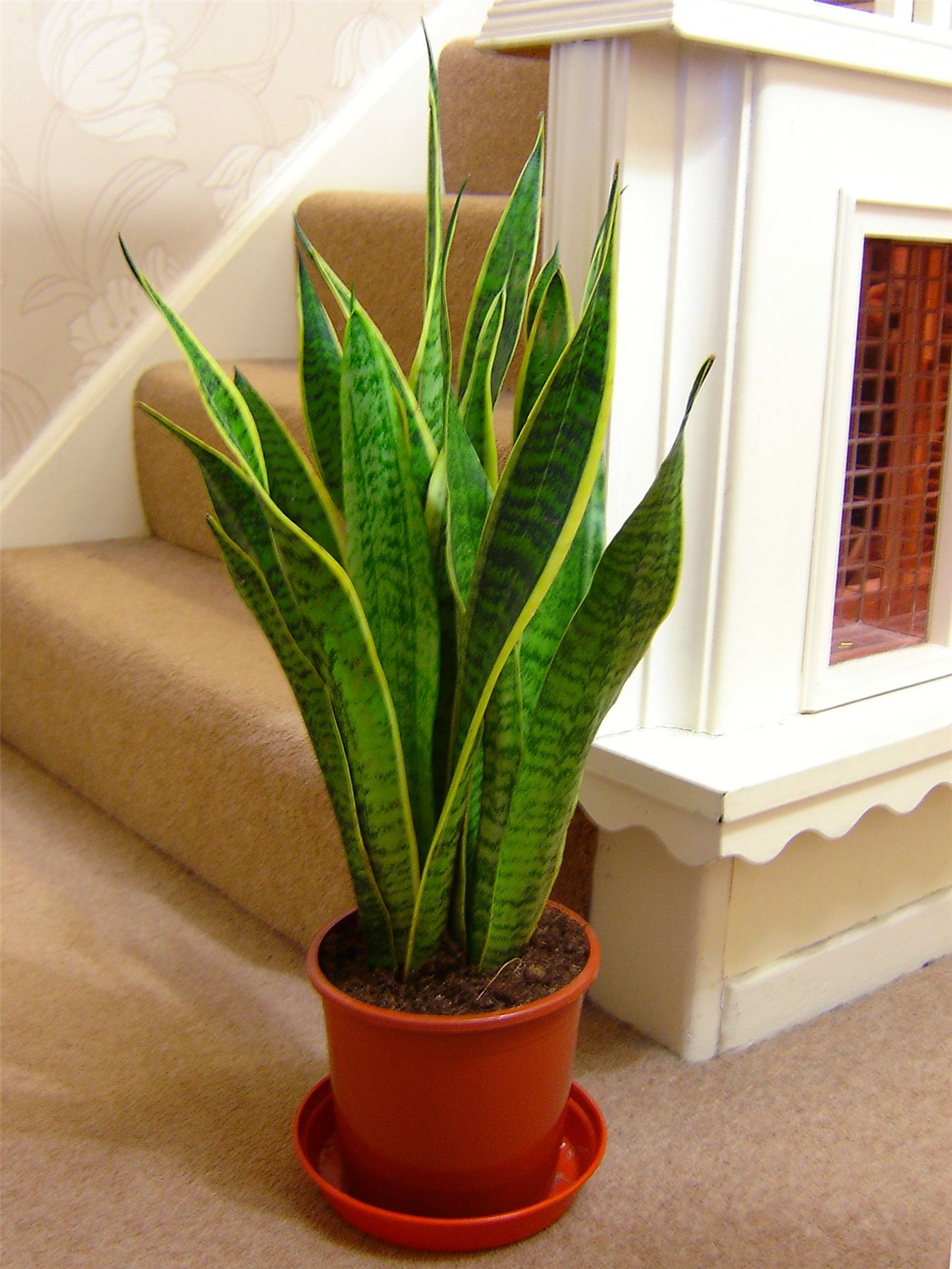 Good luck snake plant mother in law 39 s tongue evergreen for Good plants to have indoors