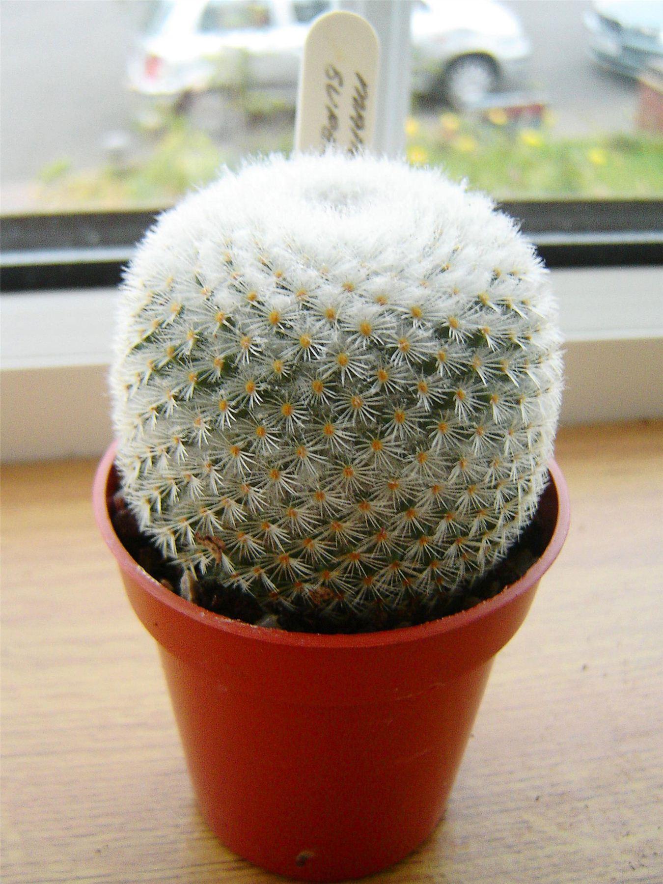 1 mini cactus succulentes cactus en pot facile d 39 entretien evergreen feuillage plante int rieure. Black Bedroom Furniture Sets. Home Design Ideas