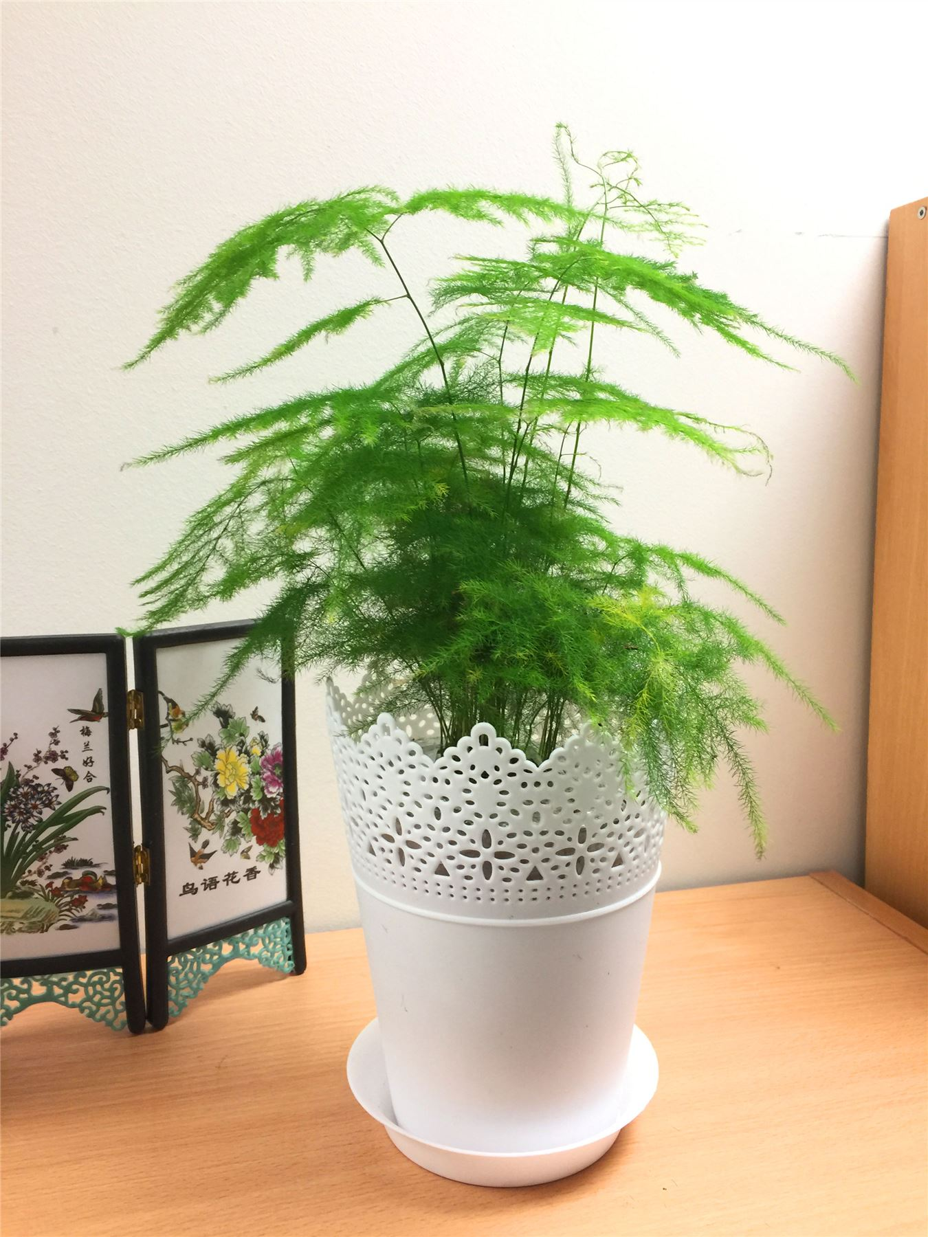 1 ASPARAGUS FERN EVERGREEN INDOOR HOUSE PLANT IN POT AIR ...
