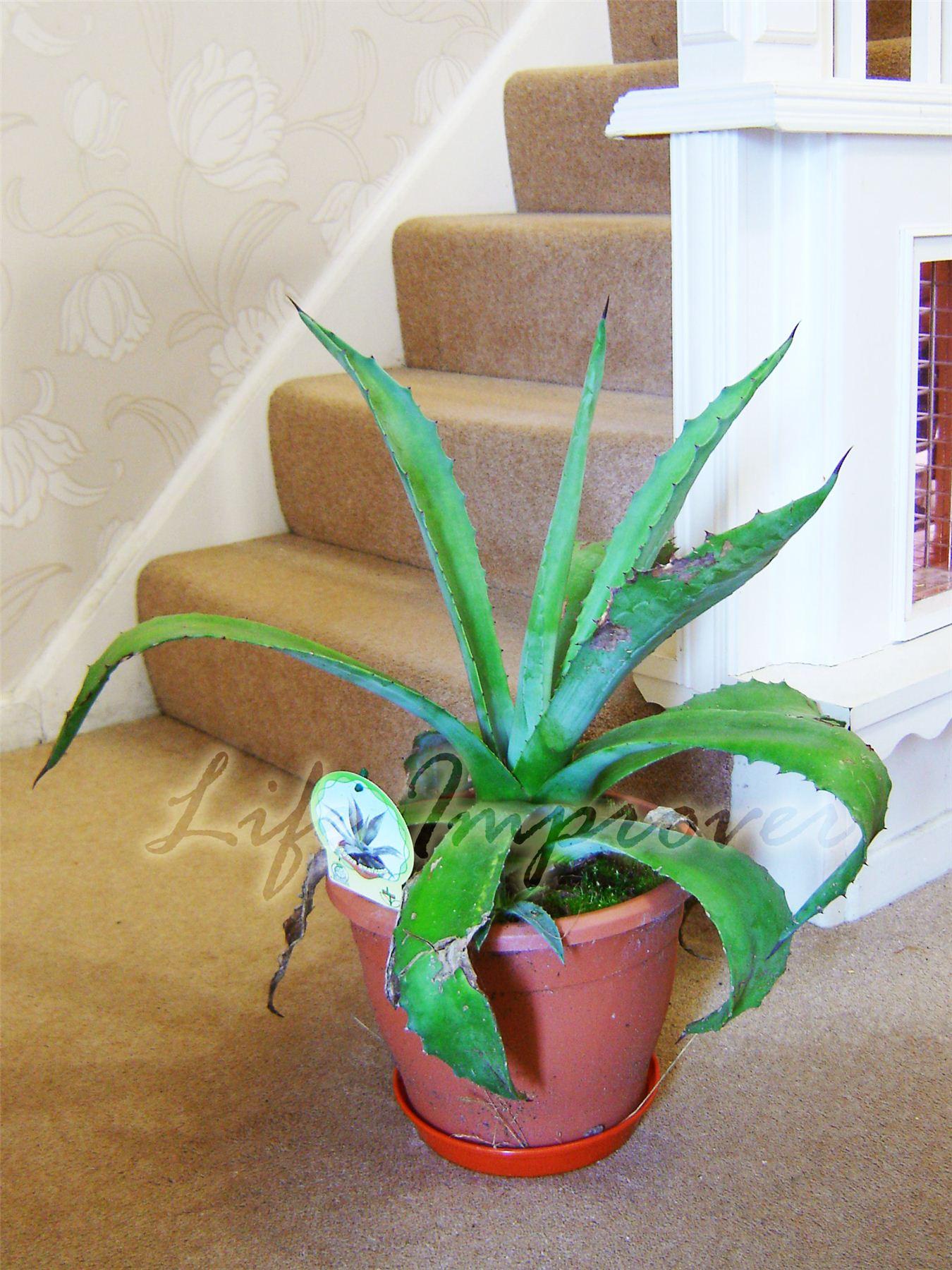 Evergreen Aloe Vera En Maceta medicinales Interior Exterior Casa ...