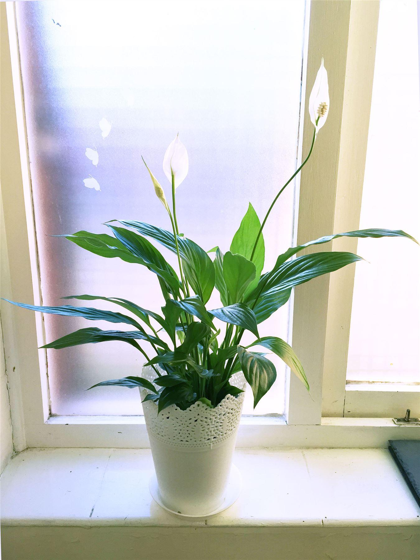 1 spatifillo pianta interno in pizzo floreale pot for Spatifillo pianta