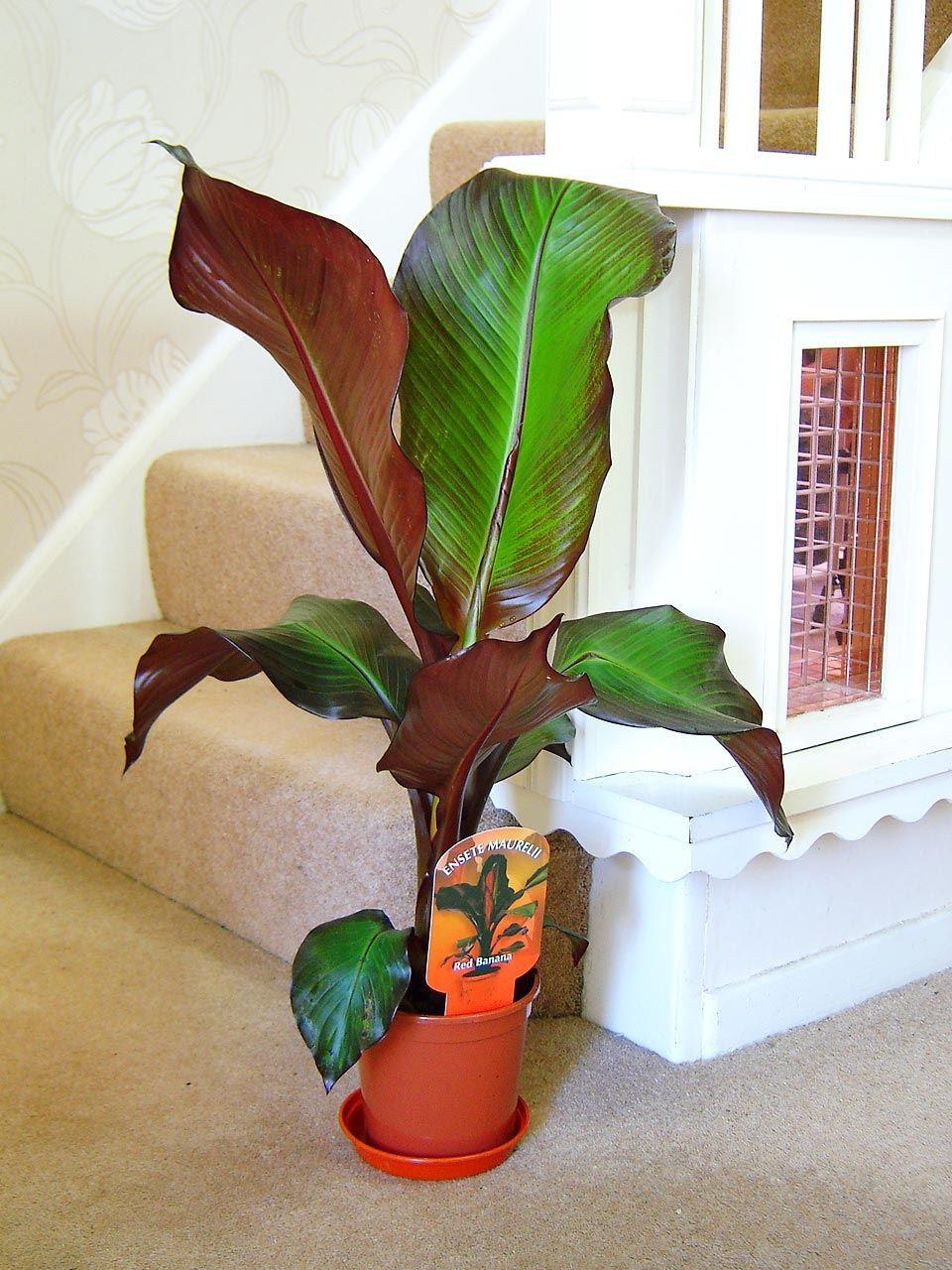 musa dwarf cavendish blood banana plant evergreen indoor