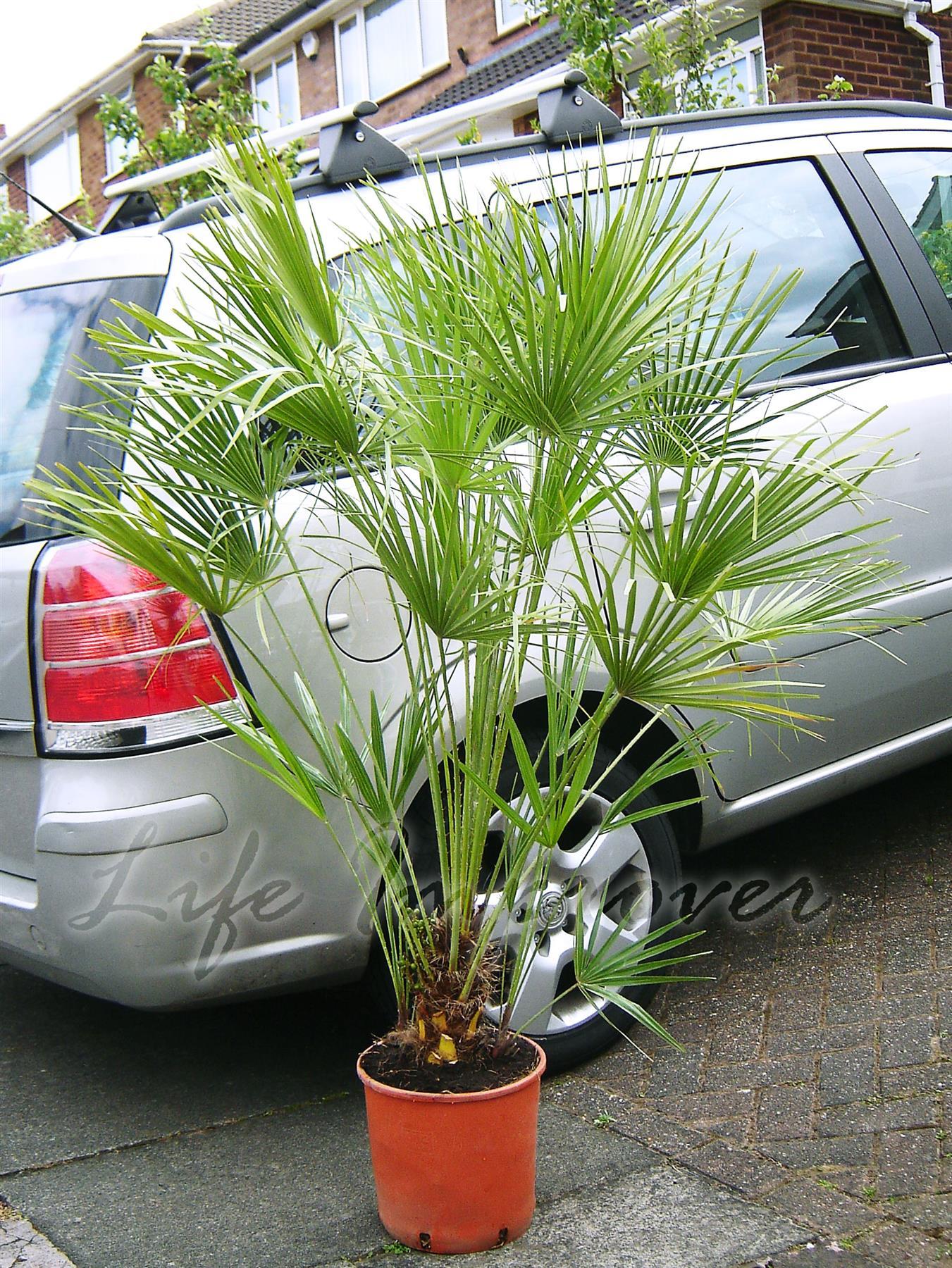 1 Palma in POT INDOOR tropicale giardino pianta POGGIAPIEDI FAN Palm Windmill Palm
