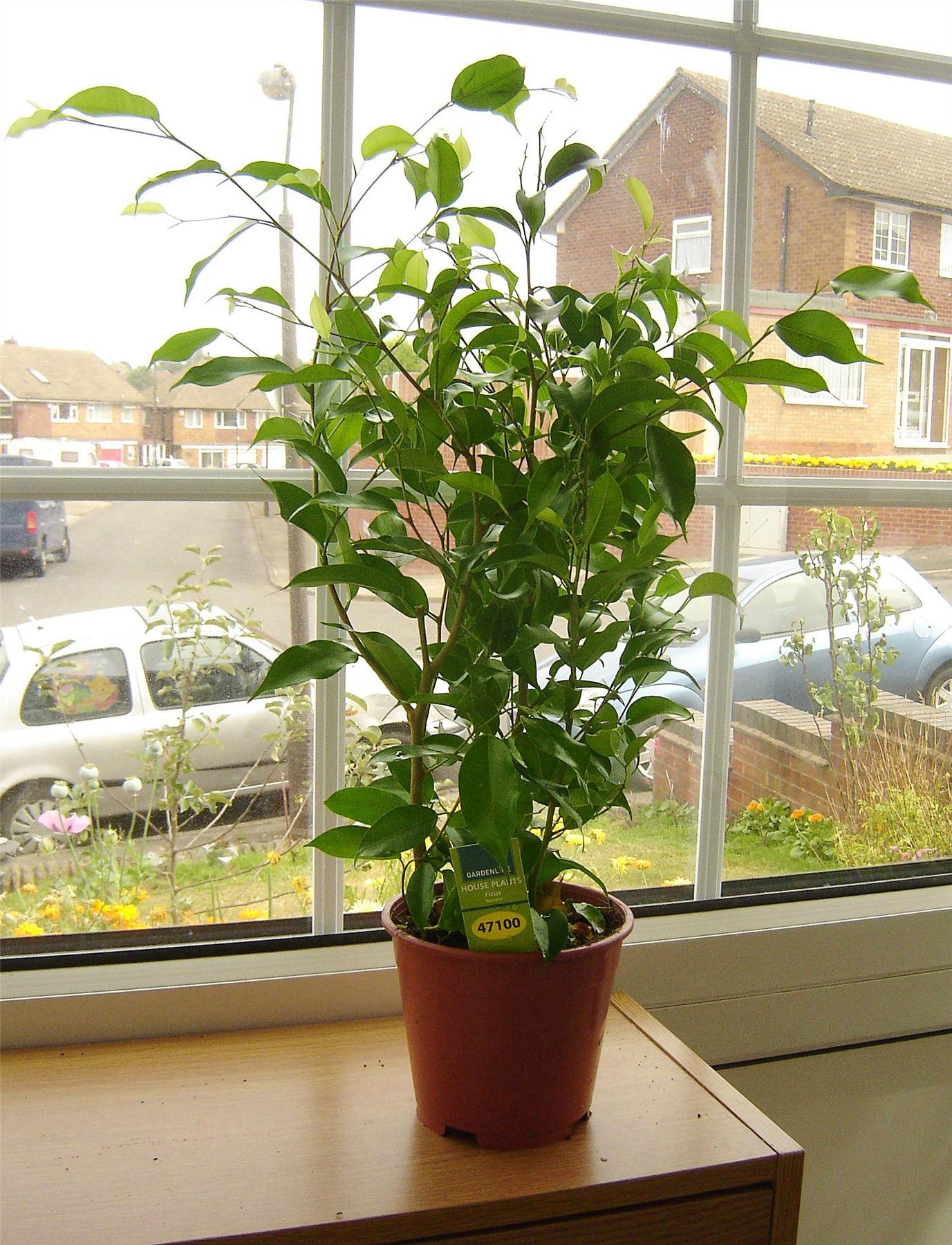 1 pot of tabella delle piante da interno casa ufficio giardino erevergreen aumento di ossigeno - Piante da ufficio resistenti ...