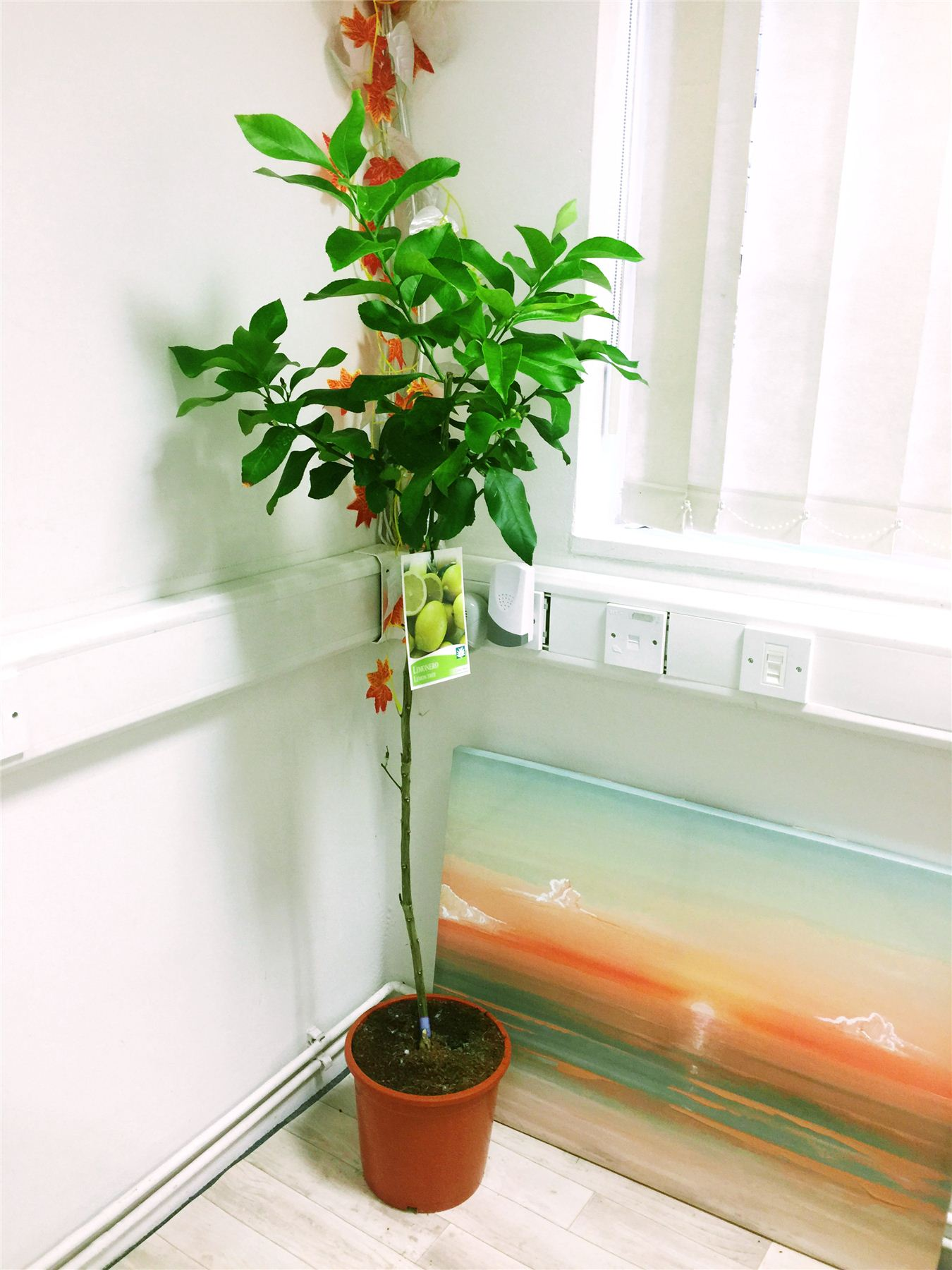 1 grande matura permanente PROFUMO LIMONE AGRUMI FRUTTA GIARDINO CASA ALBERO pianta in vaso
