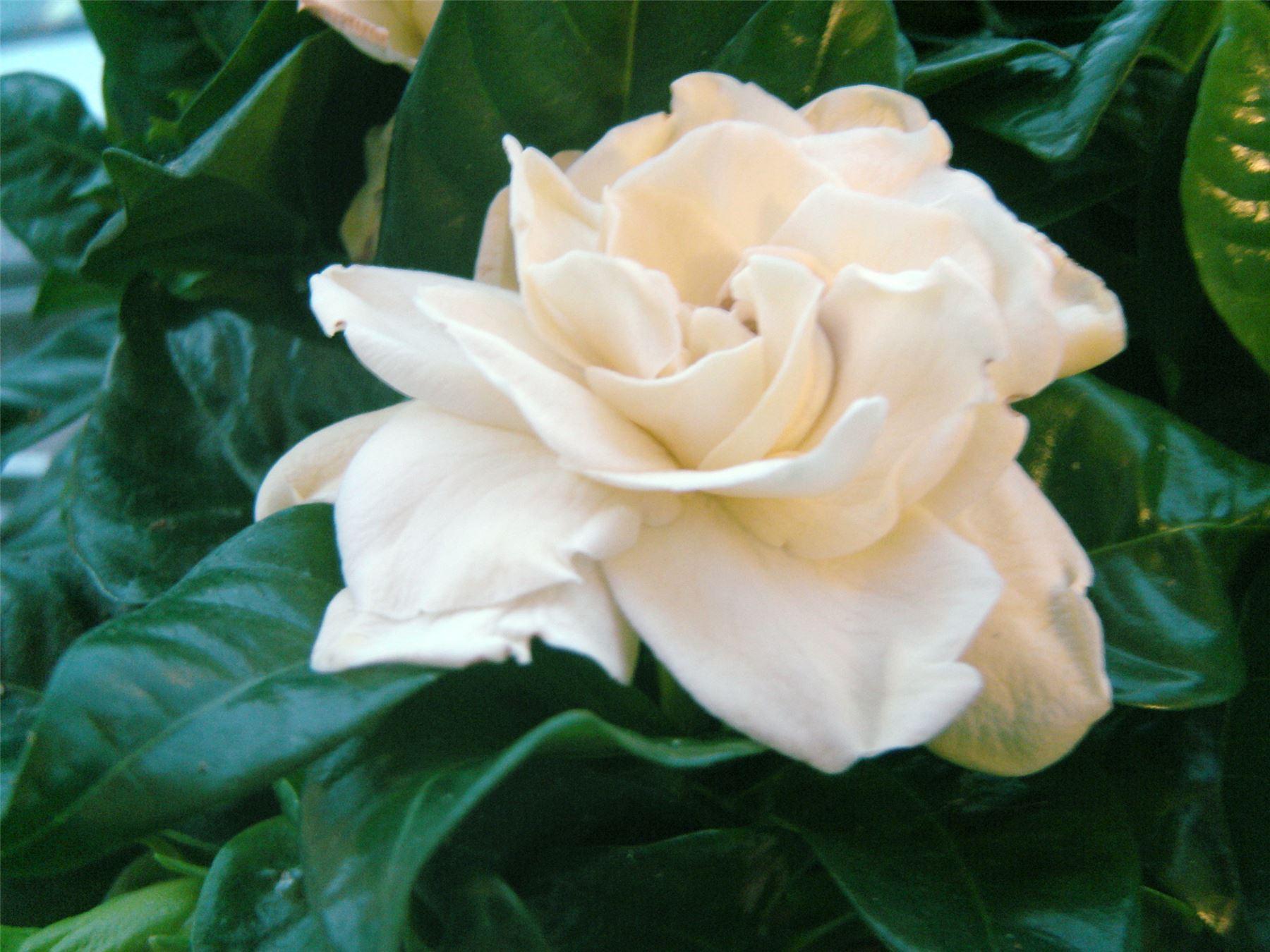 Plantes De Terrasse Arbustes 1 très parfumé parfum gardenia jasminoides cape jasmine
